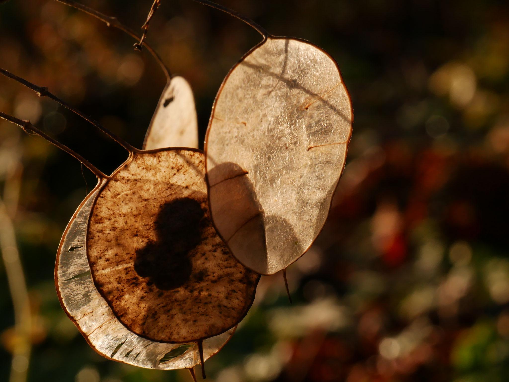 Samenstand Lunaria annua - Einjähriges Silberblatt