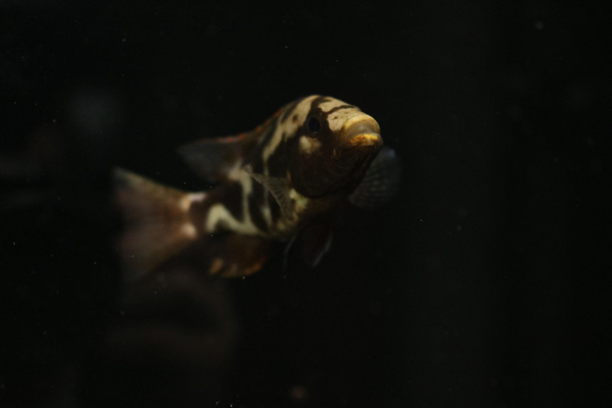 Nimbochromis Livingstonii F1