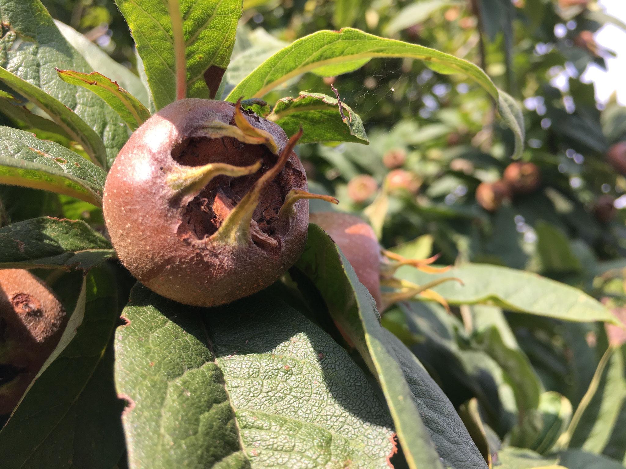 Mispel - alte Apfelfrucht. Kann zu Mus verarbeitet werden. Die Frucht war im Mittelalter in Süd- und Mitteleuropa weit verbreitet. Nach der ersten Frosteinwirkung werden die Früchte zu Gelee, Marmelade und Mispelmus verarbeitet. Vitaminreich.