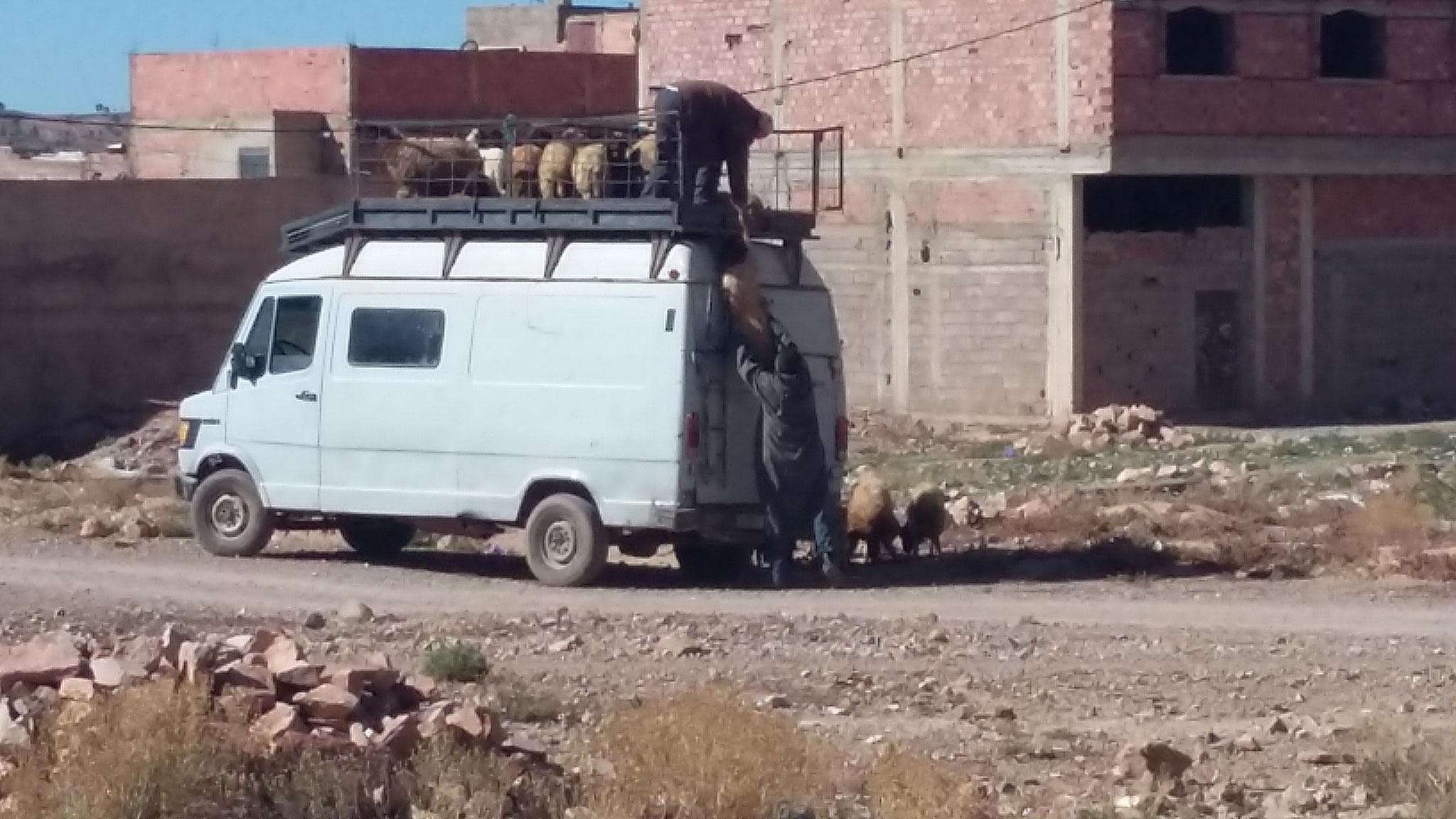 Schaftransport auf marokkanisch