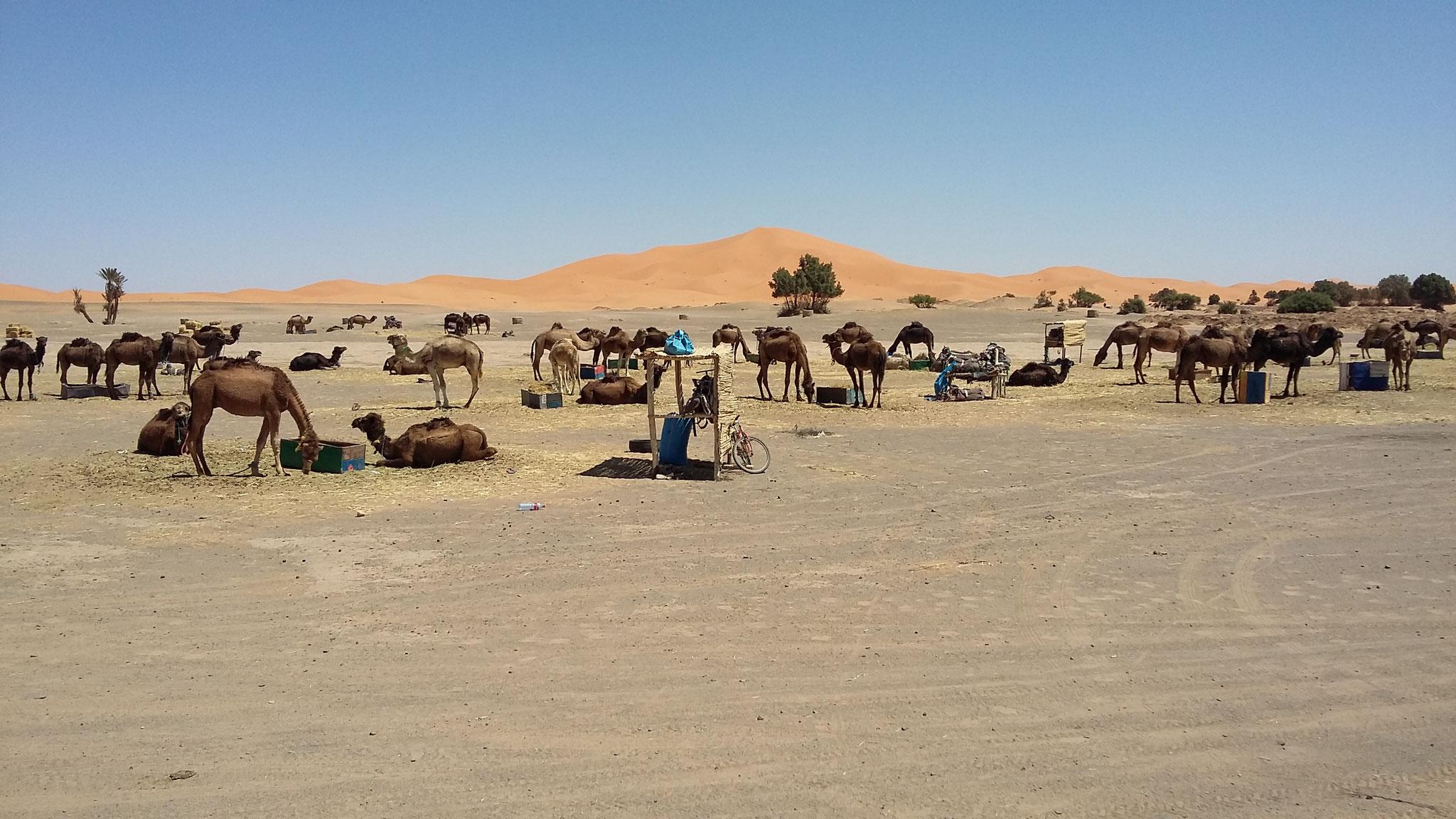 Erg Chebbi, Dromedare warten auf Touristen.