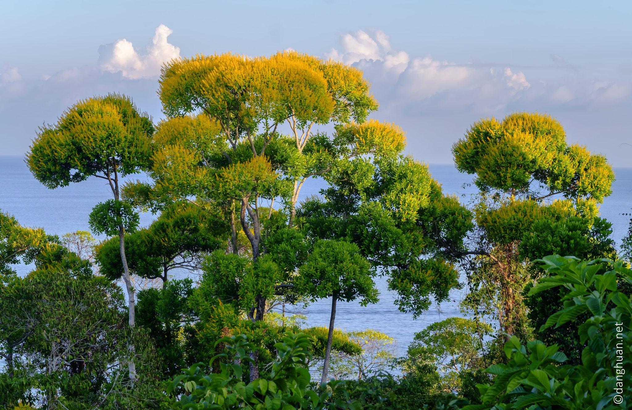 l'arbre brocolis