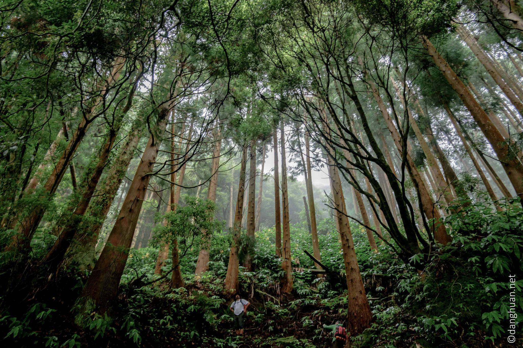 Montée au Pico do Ferro à travers une forêt de Cryptoméria du Japon ou Cèdre du Japon