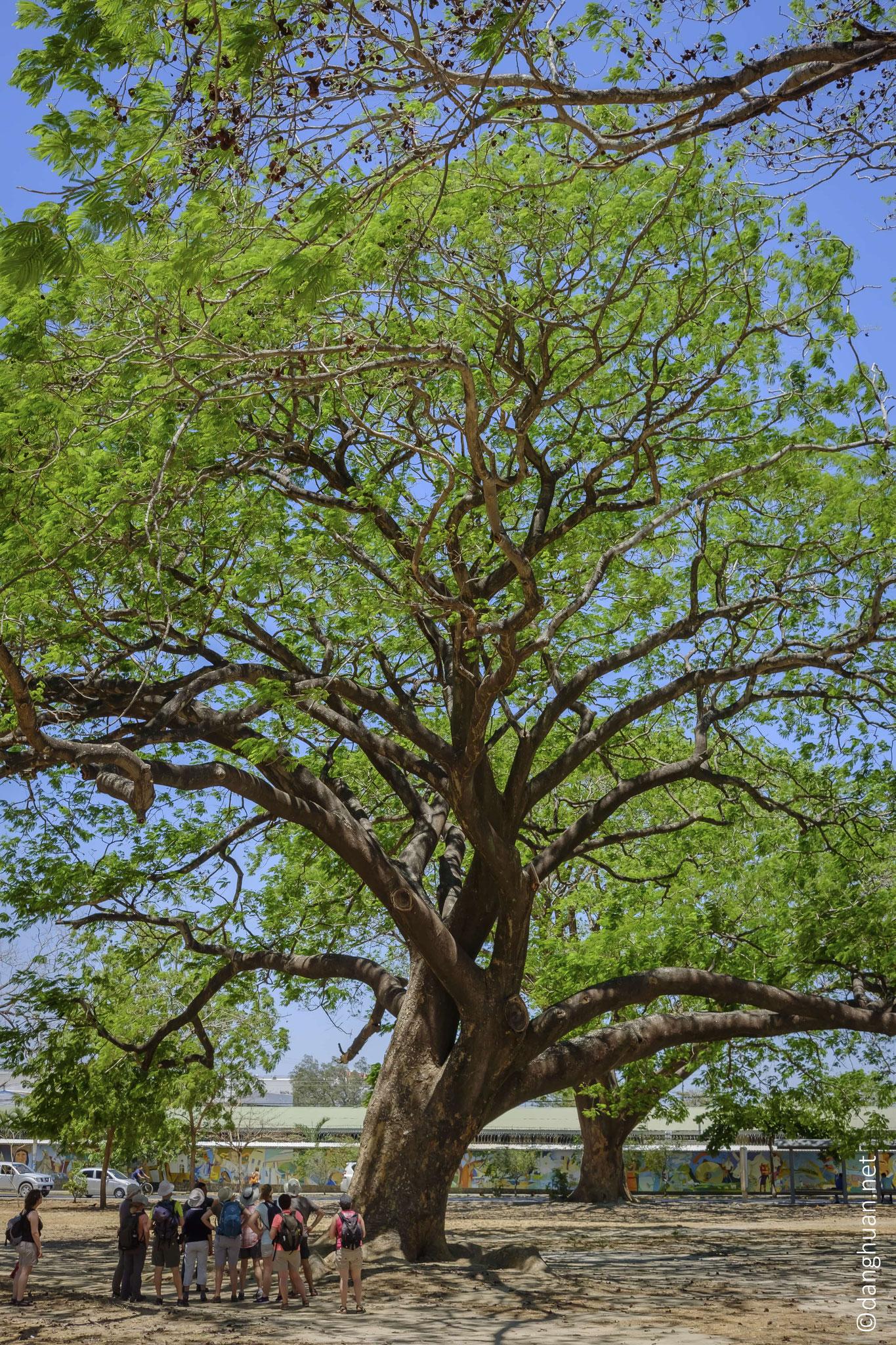 L'arbre guanacaste est un emblème national du Costa Rica