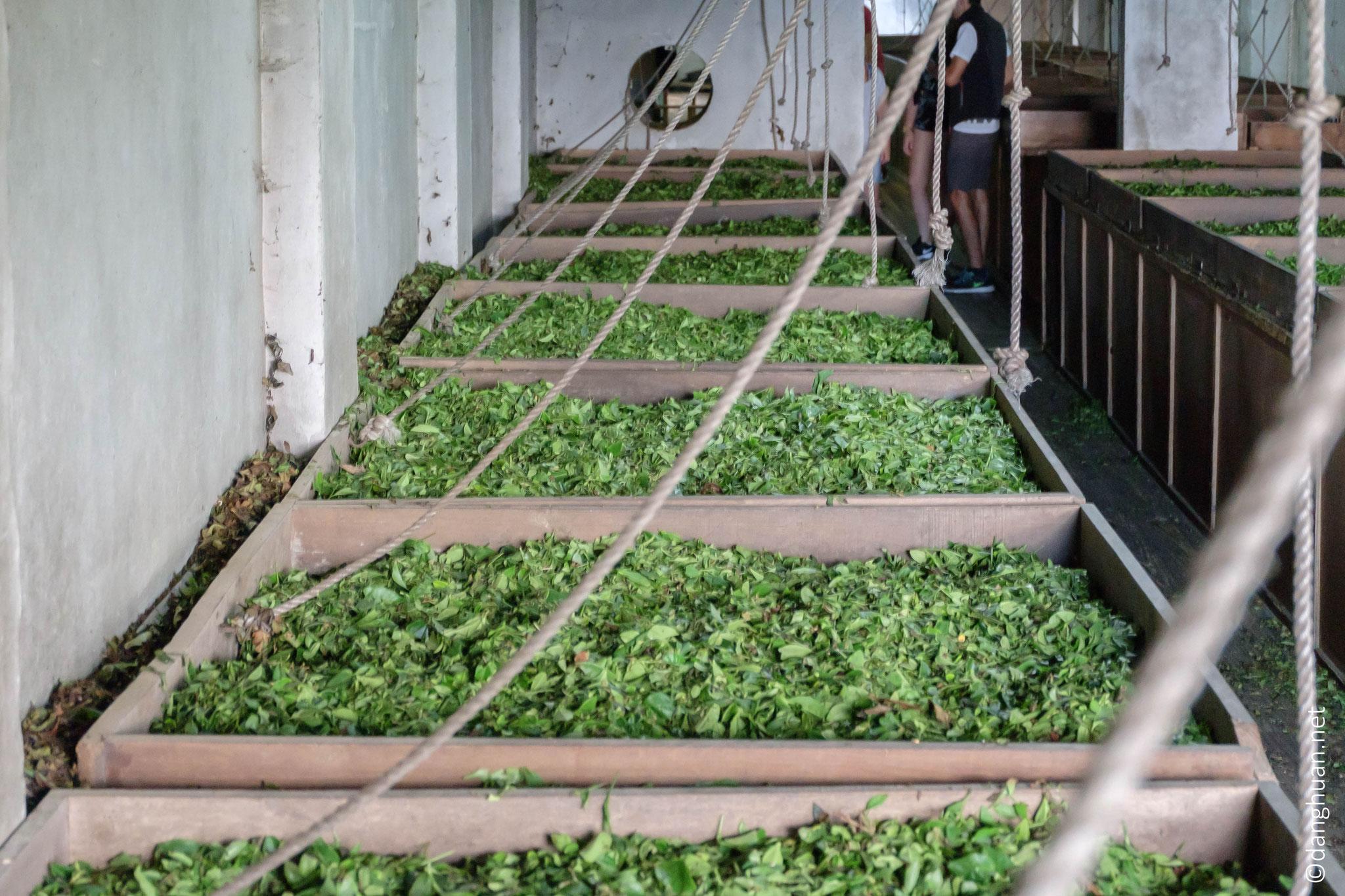 Flétrissage : Le thé est posé sur de longues claies ventilées