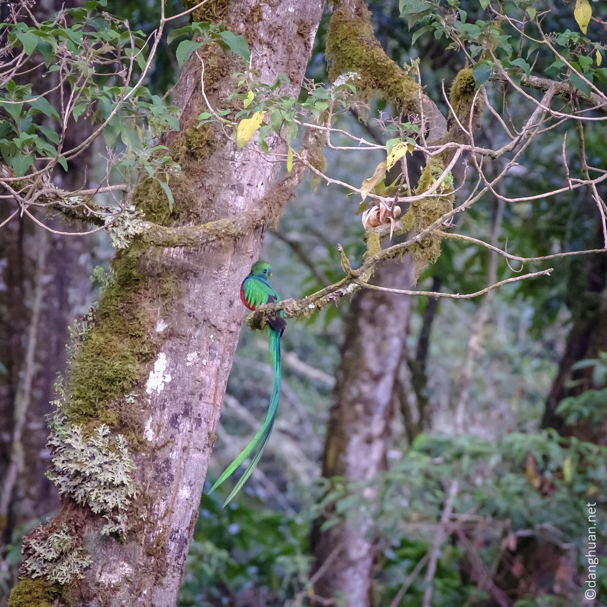 Le quetzal resplendissant mâle a un plumage vert iridescent, une poitrine rouge sang et des plumes de queue de 60cm de long...