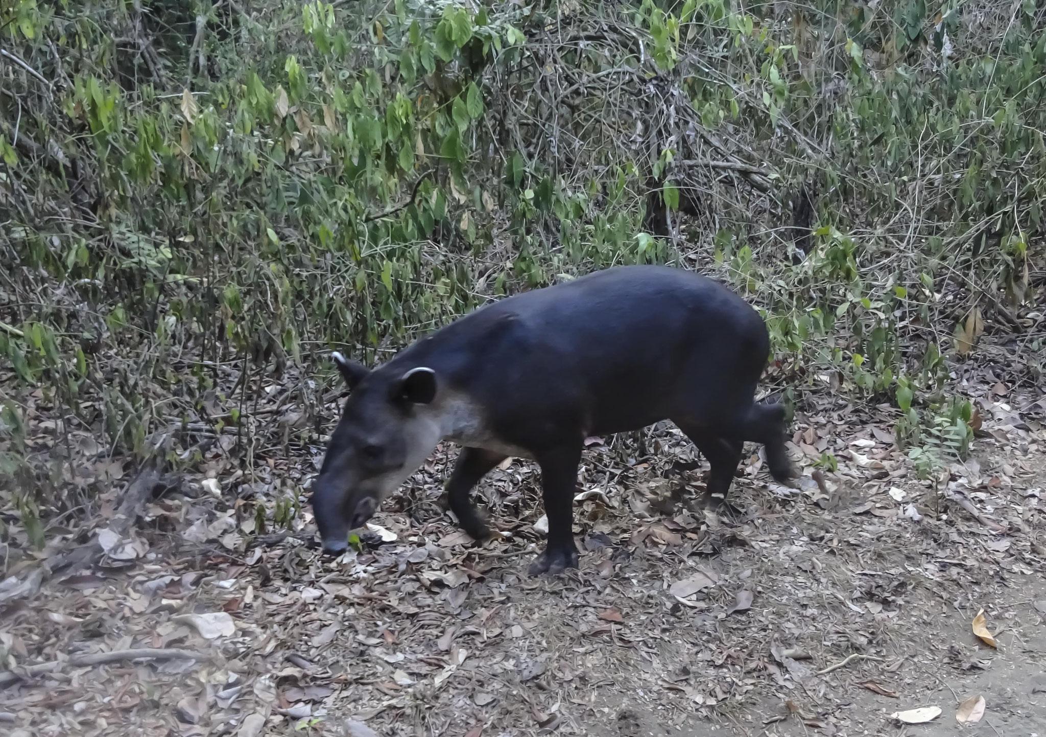 Tapir, animal nocturne à la recherche d'un coin pour se cacher en début de matinée