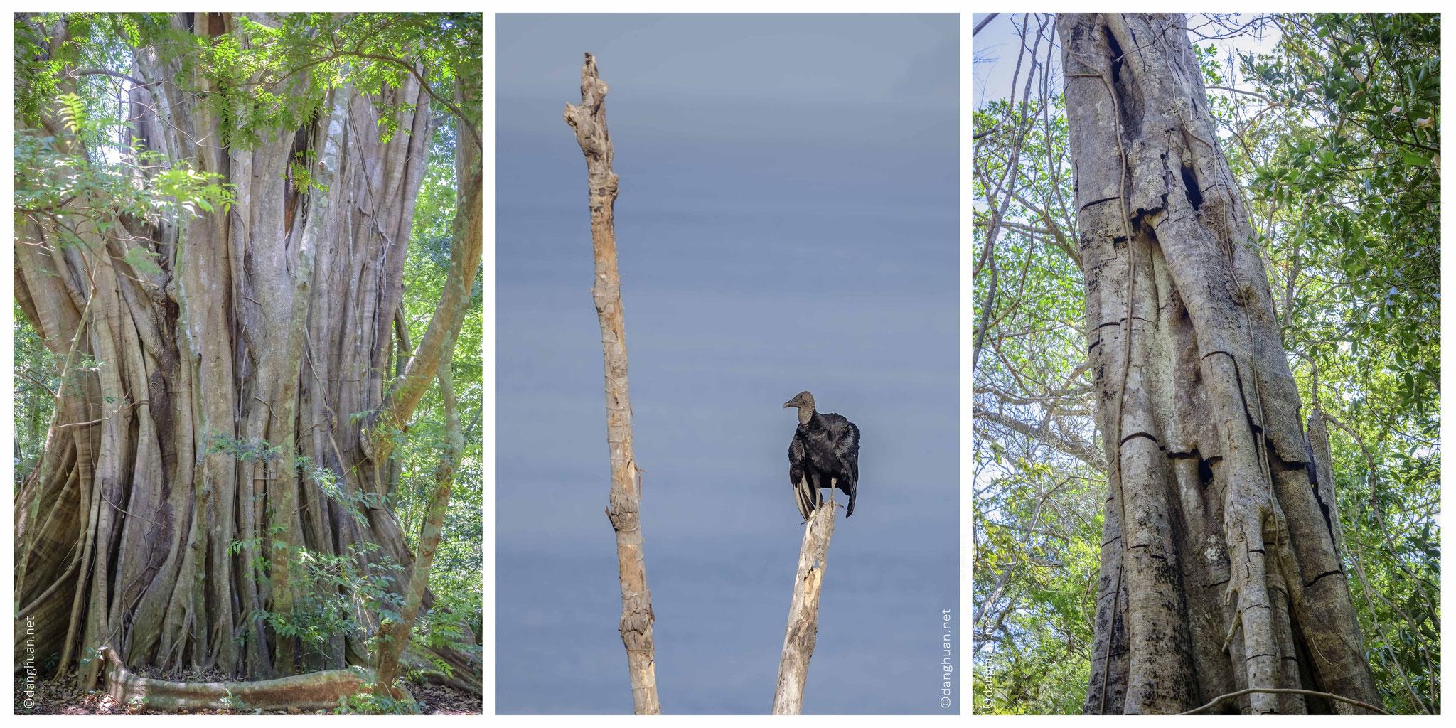 Les arbres de la forêt  primaire tropicale