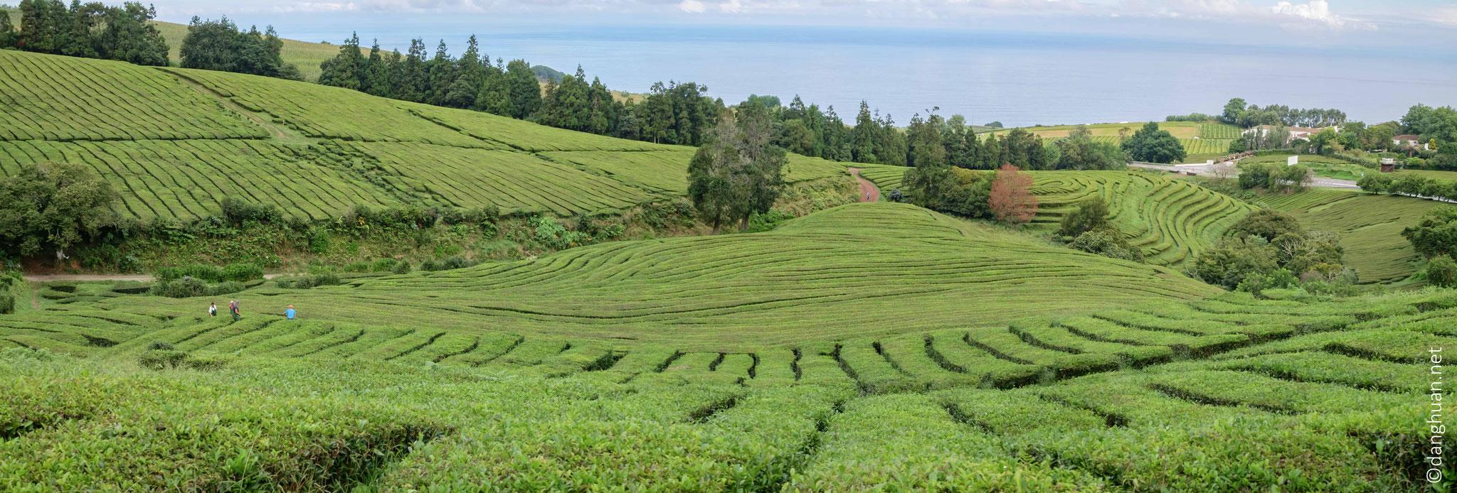 Randonnée dans la plantation de théde  Gorreana (la seule en Europe)