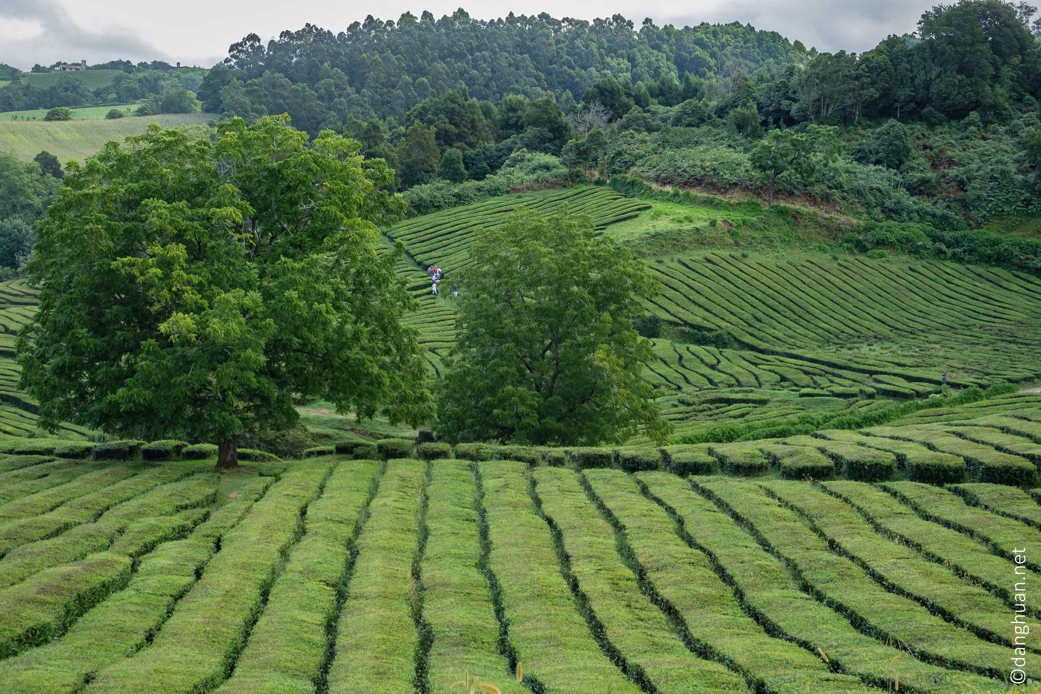 Randonnée dans la plantation de thé de Gorreana (la seule en Europe)