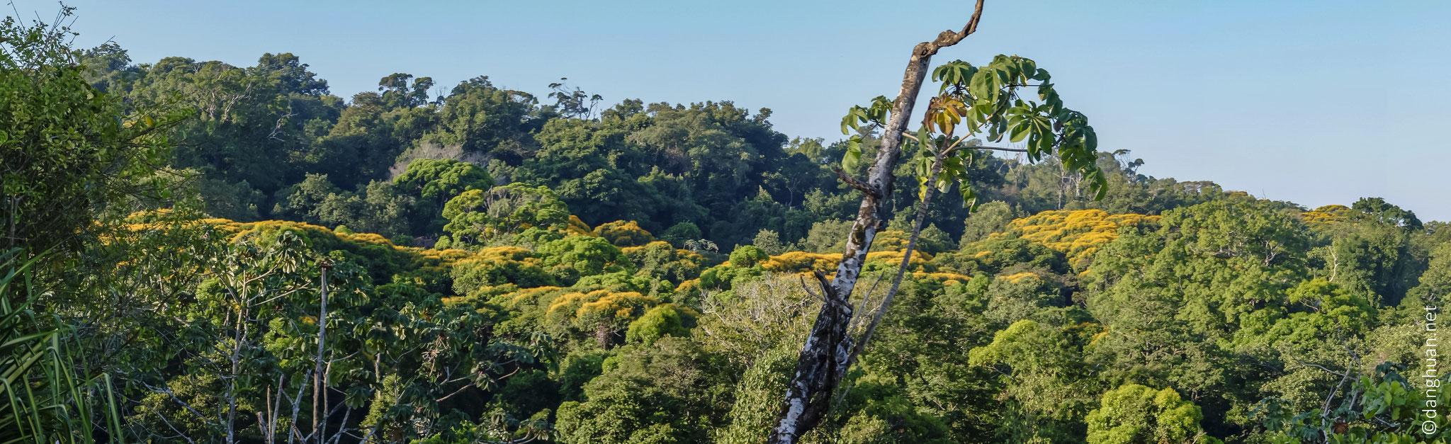 Forêt tropicale avec des arbres brocolis, les premiers à renaître en cas de catastrophe