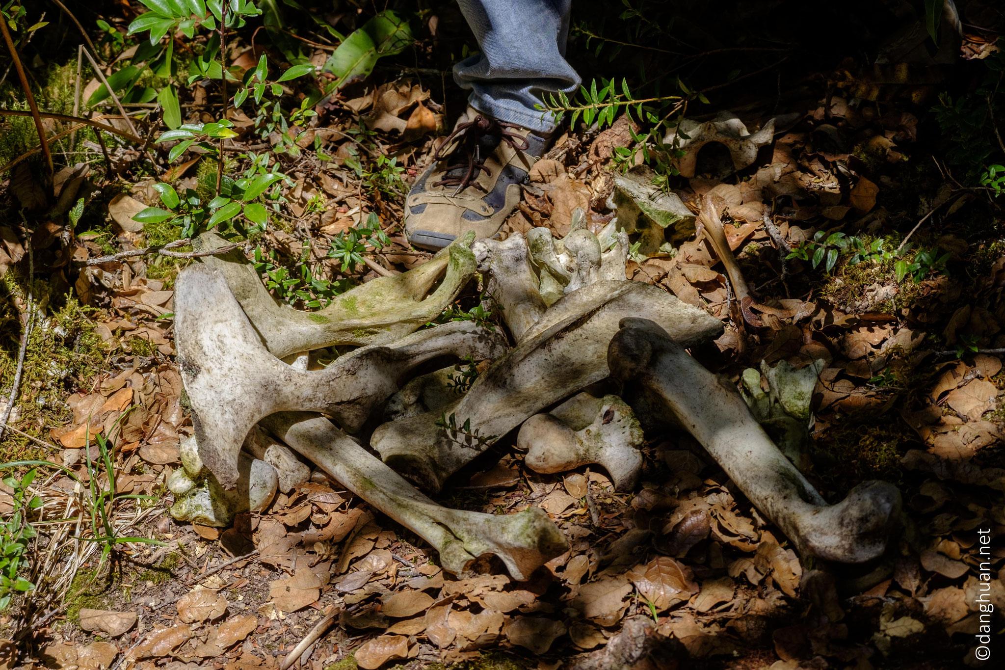 Reste d'un tapir tué par un jaguar et désossé par les coyotes