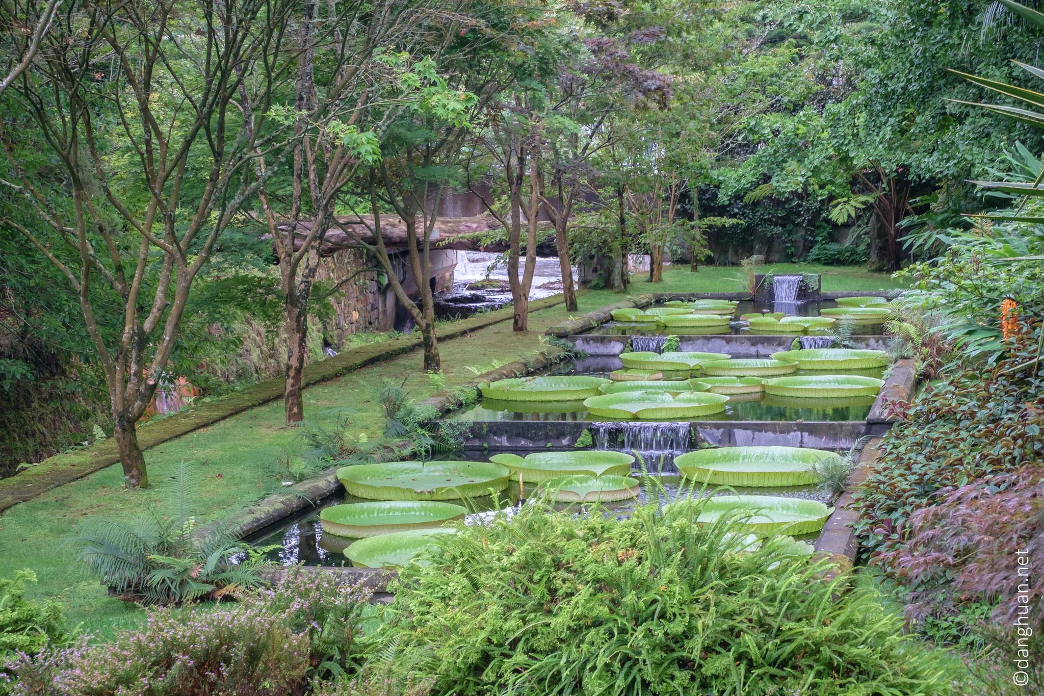 Jardin Terra Nostra, les nénuphars ont un diamètre de 2m et pèsent 6 Kgs