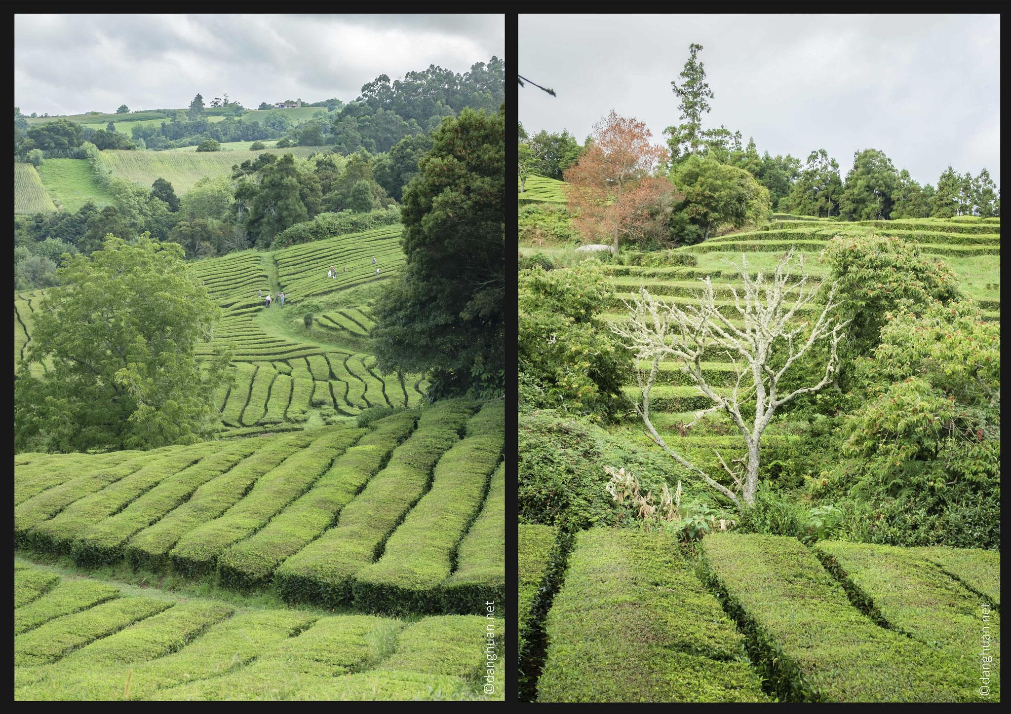 Avec sa voisine Porto Formoso, Chá Gorreana est la seule plantation de thé européenne