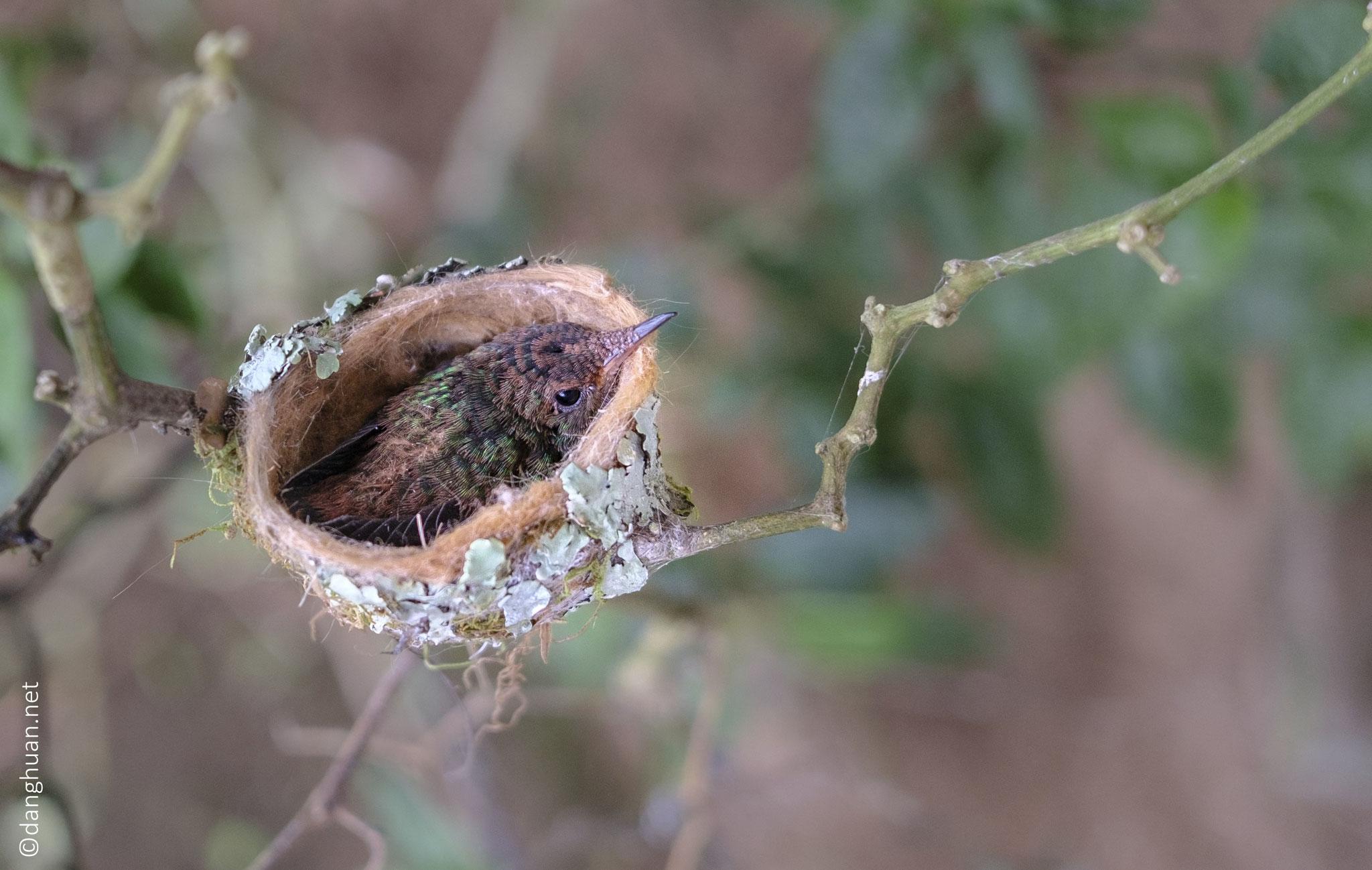 Nid de colibri