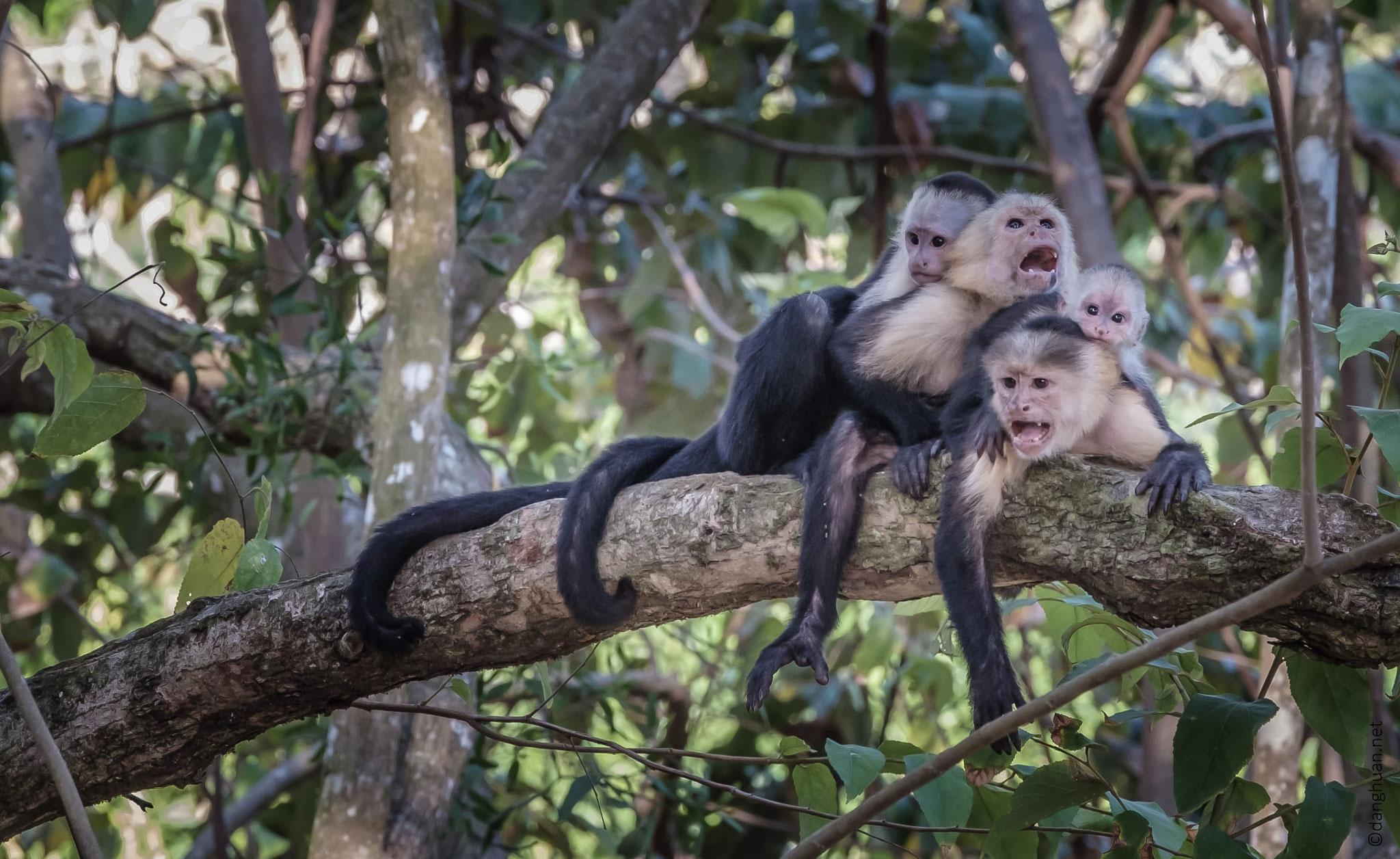 singes capucin