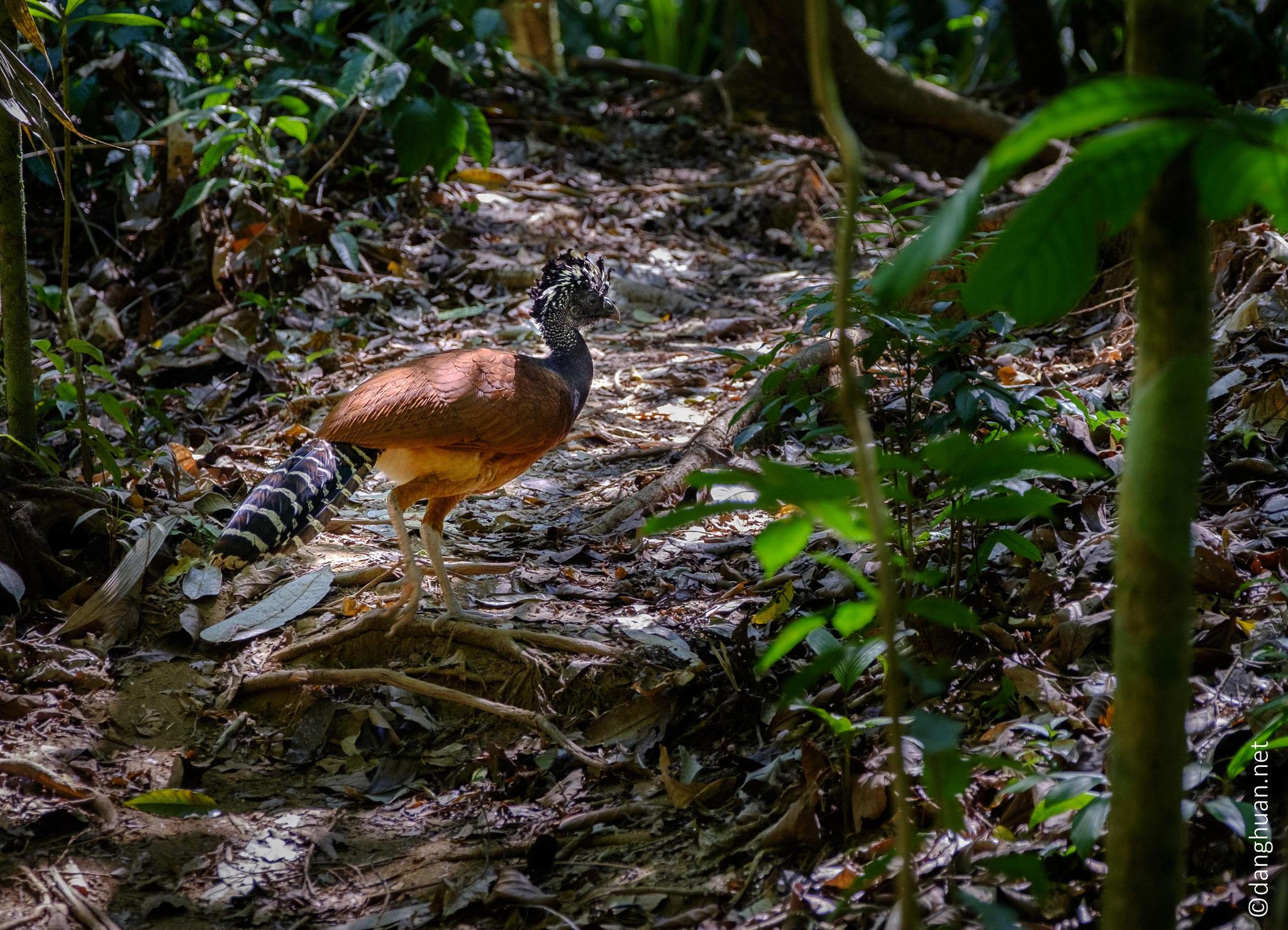 Hocco - les Cracinés sont les oiseaux endémiques des forêts de la zone néotropicale d'Amérique du Sud
