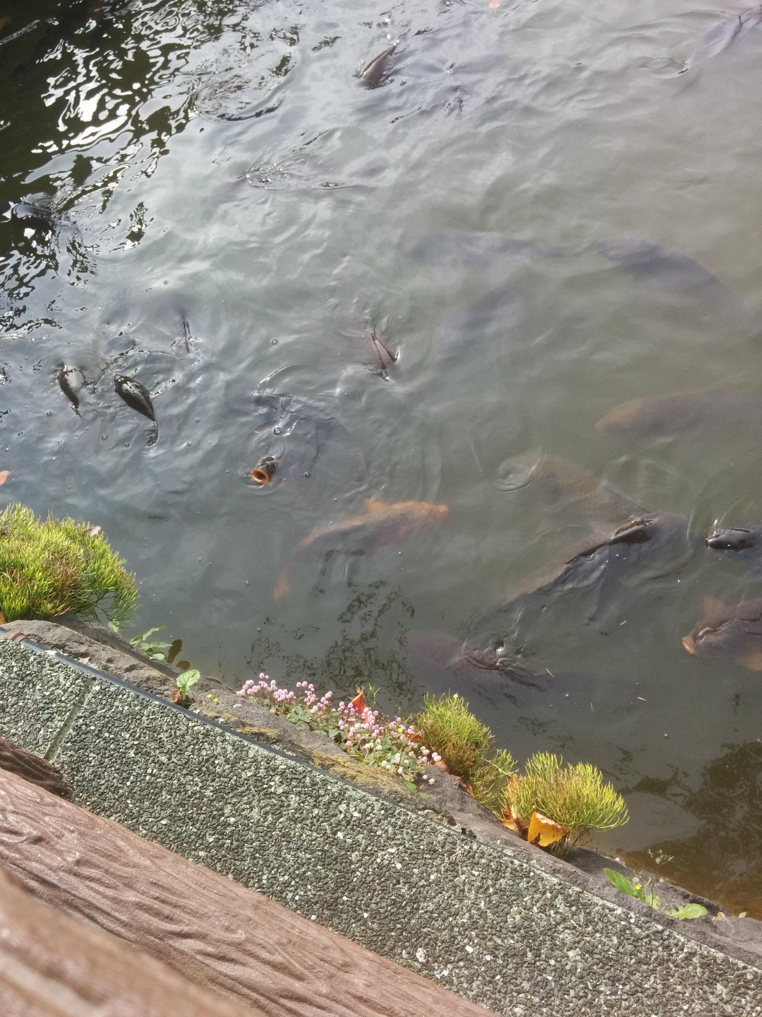 10 Koi fish