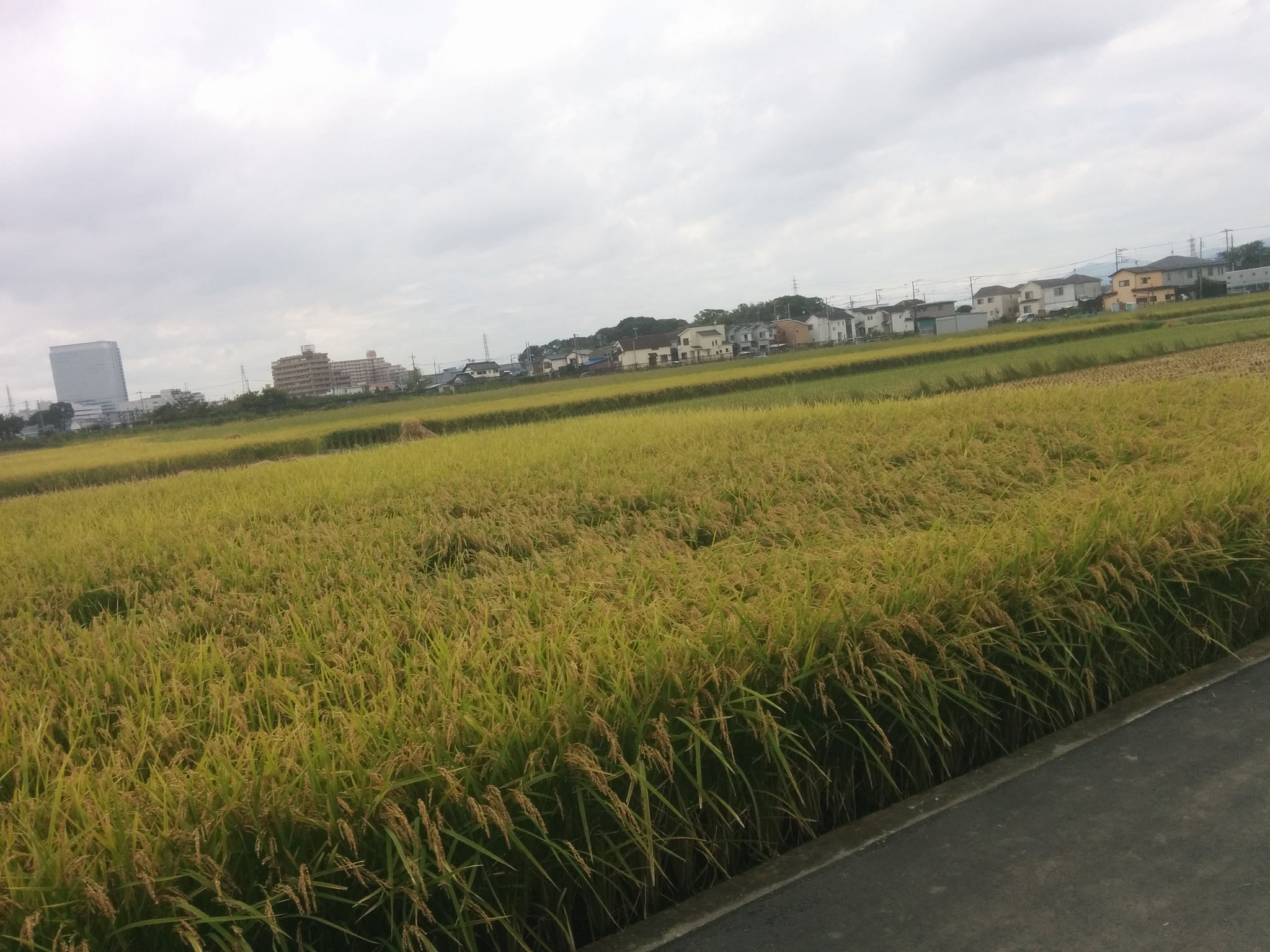 25 The rice field we worked on
