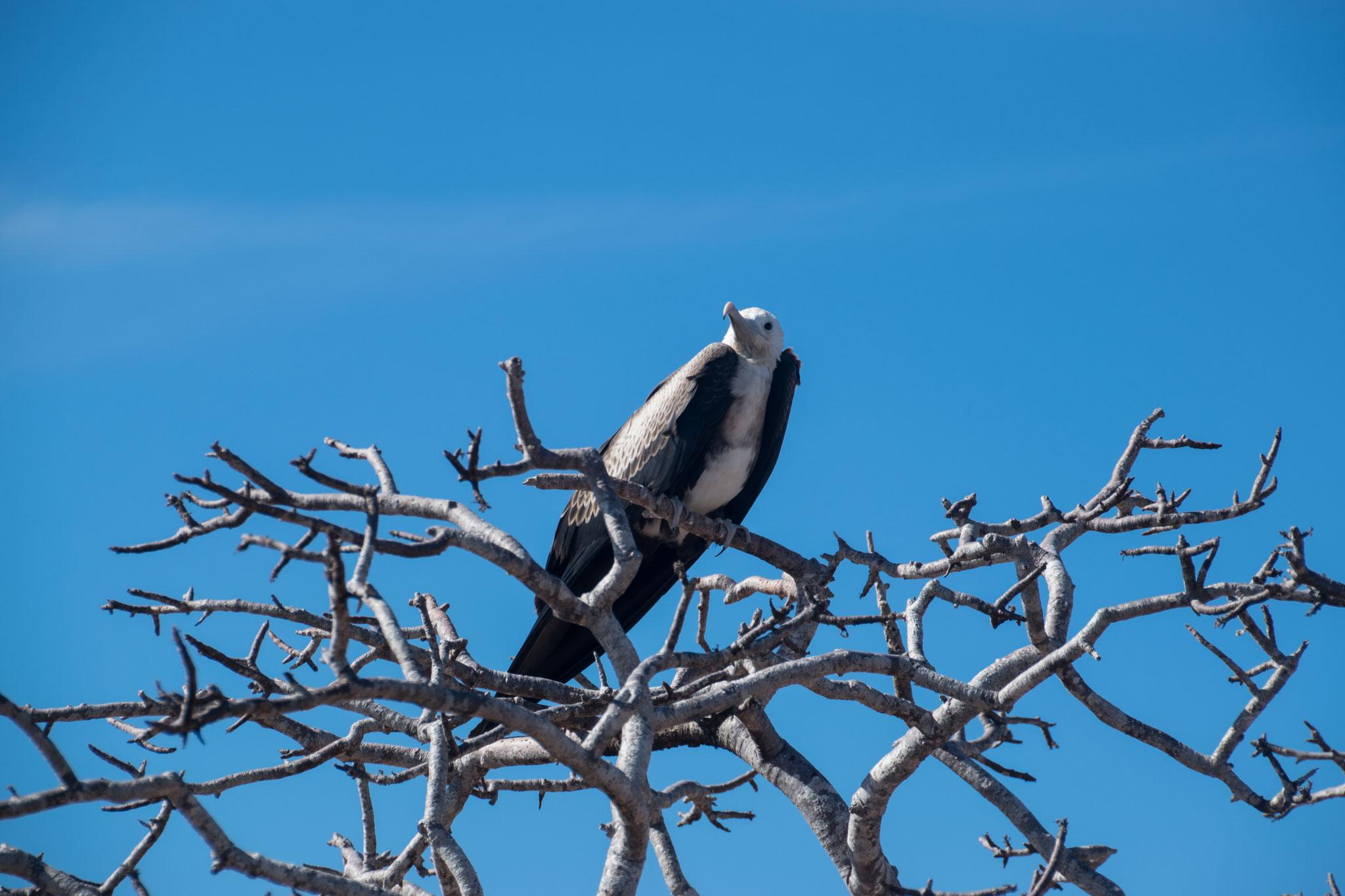Fregattvogel-Weibchen