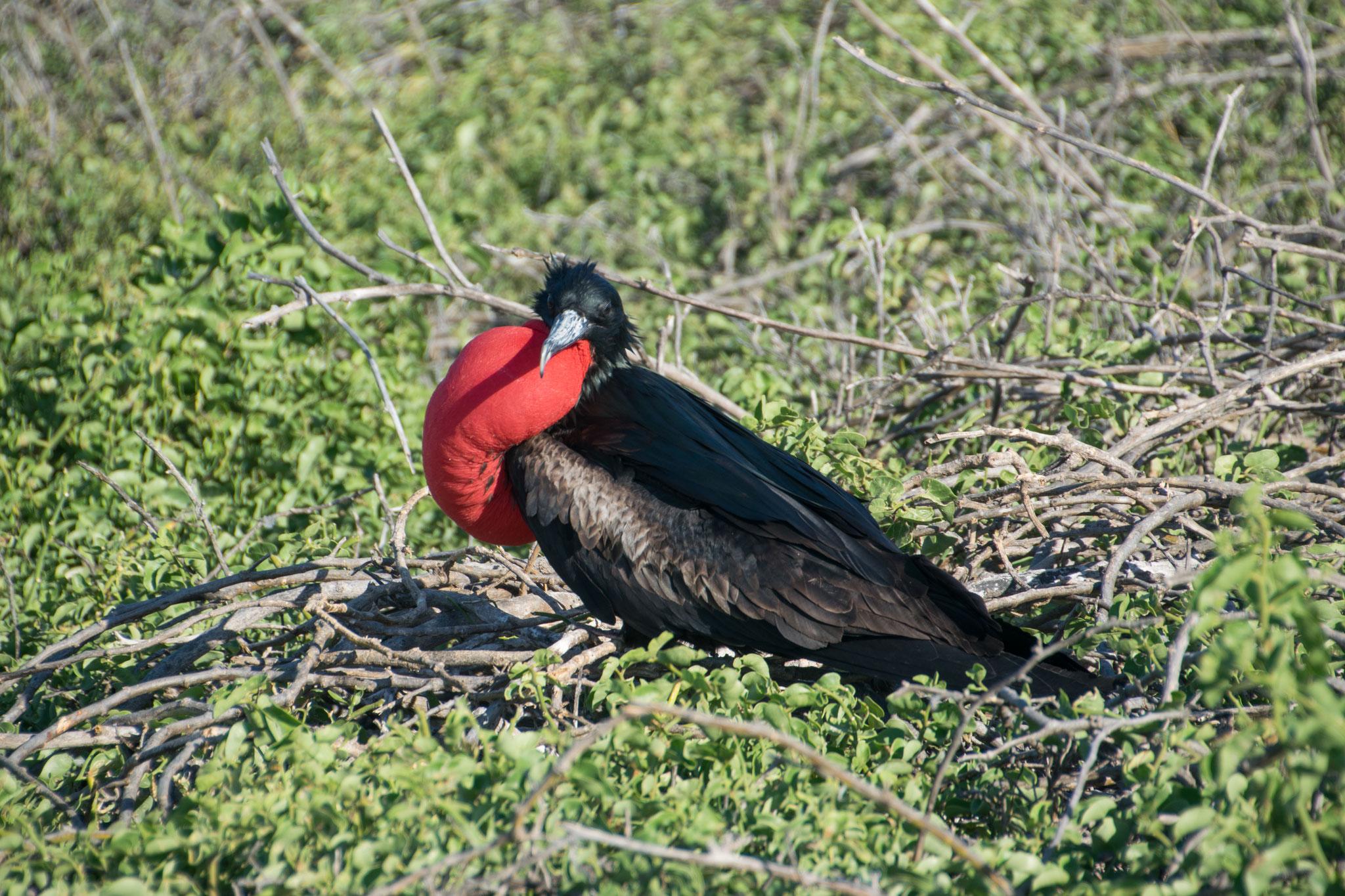 Fregattvogel-Männchen