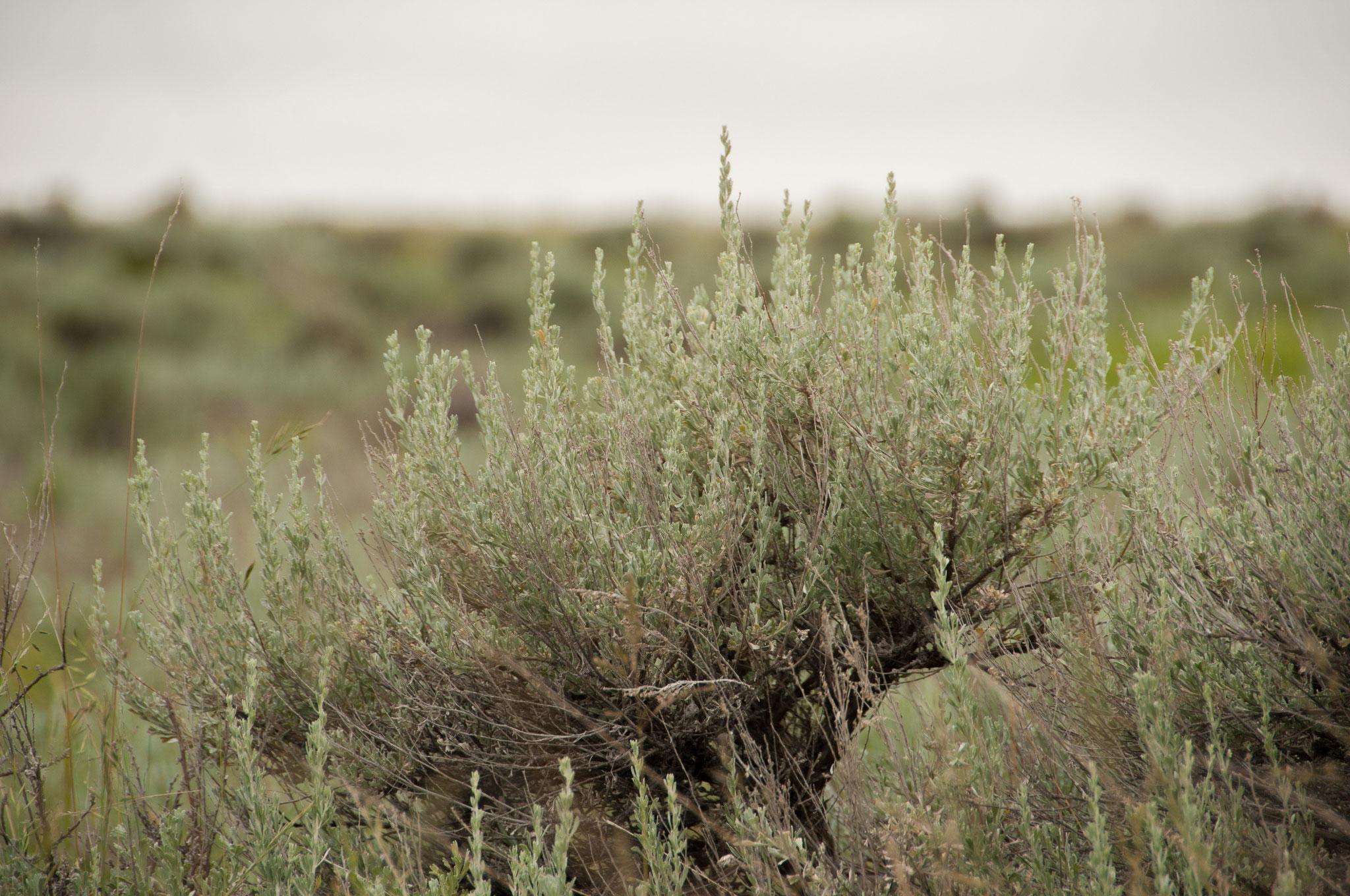 White Sage - der Weisse Salbei aus den USA. Eine reinigende und schützende Pflanze.