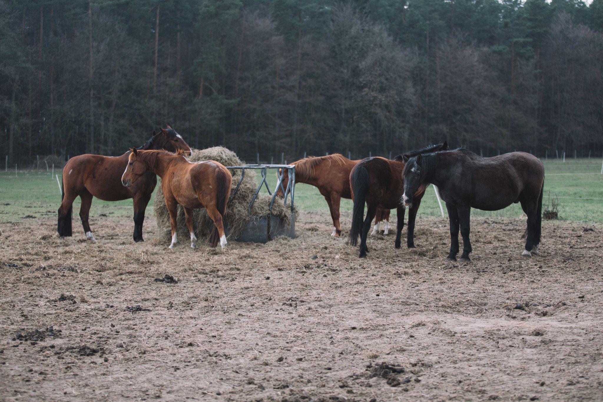 Wallach-Herde