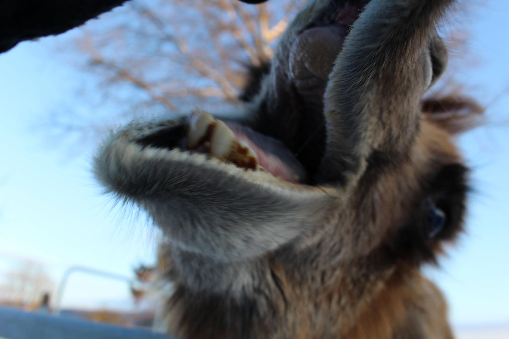 Kamele haben weiche Nasen