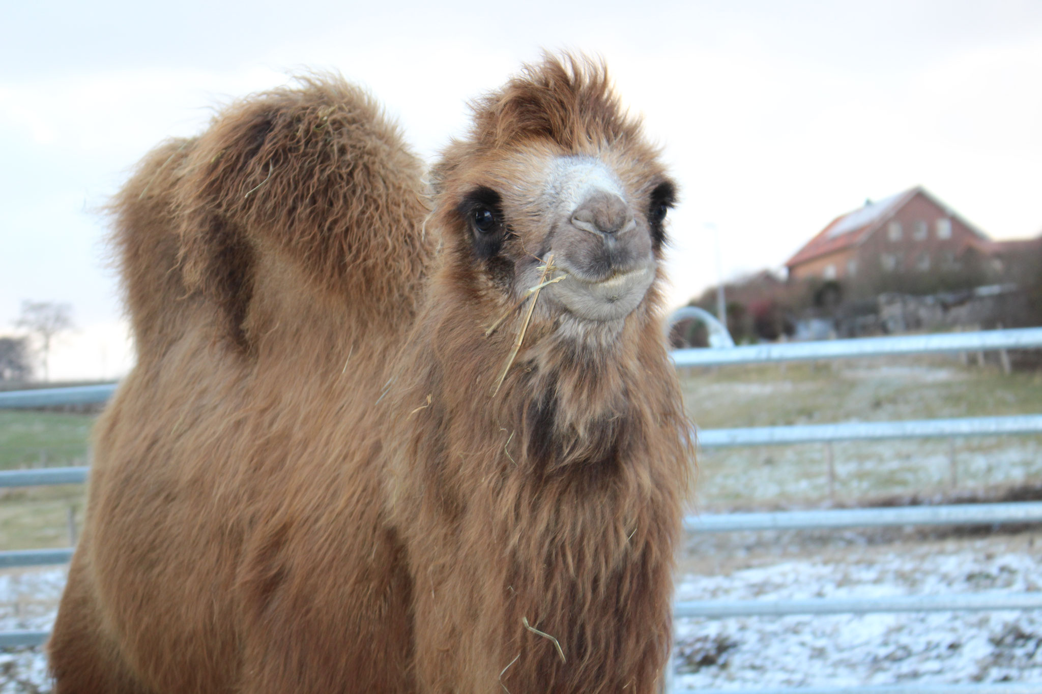Unsere Kamele