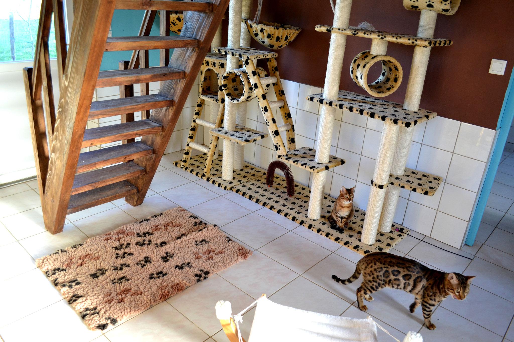 levage de chat et chaton bengal elevage tribal bengal. Black Bedroom Furniture Sets. Home Design Ideas