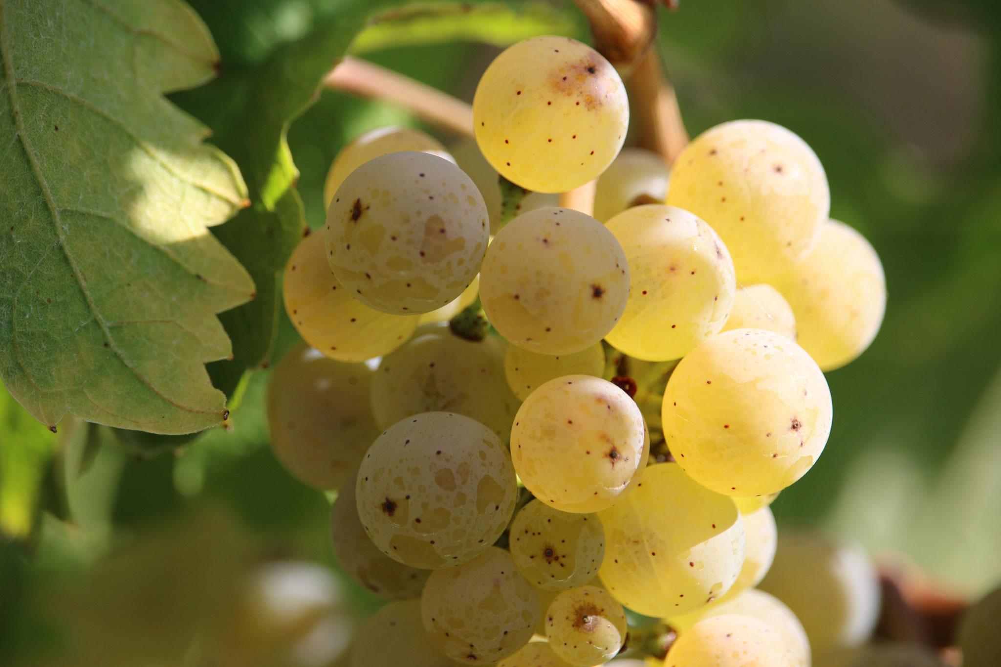 Die Beeren schimmern gold-gelb