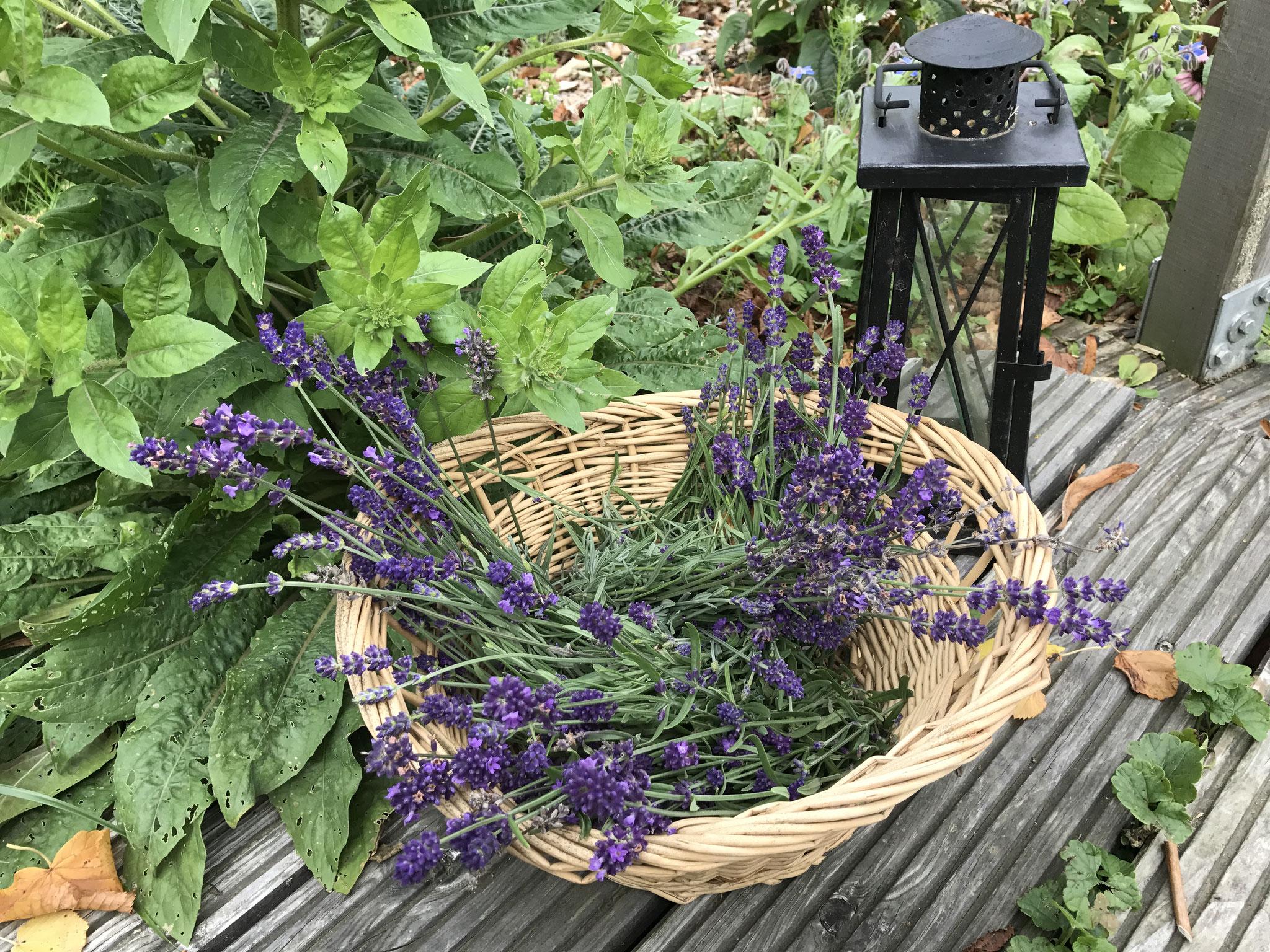 Lavendel im Räuchergarten
