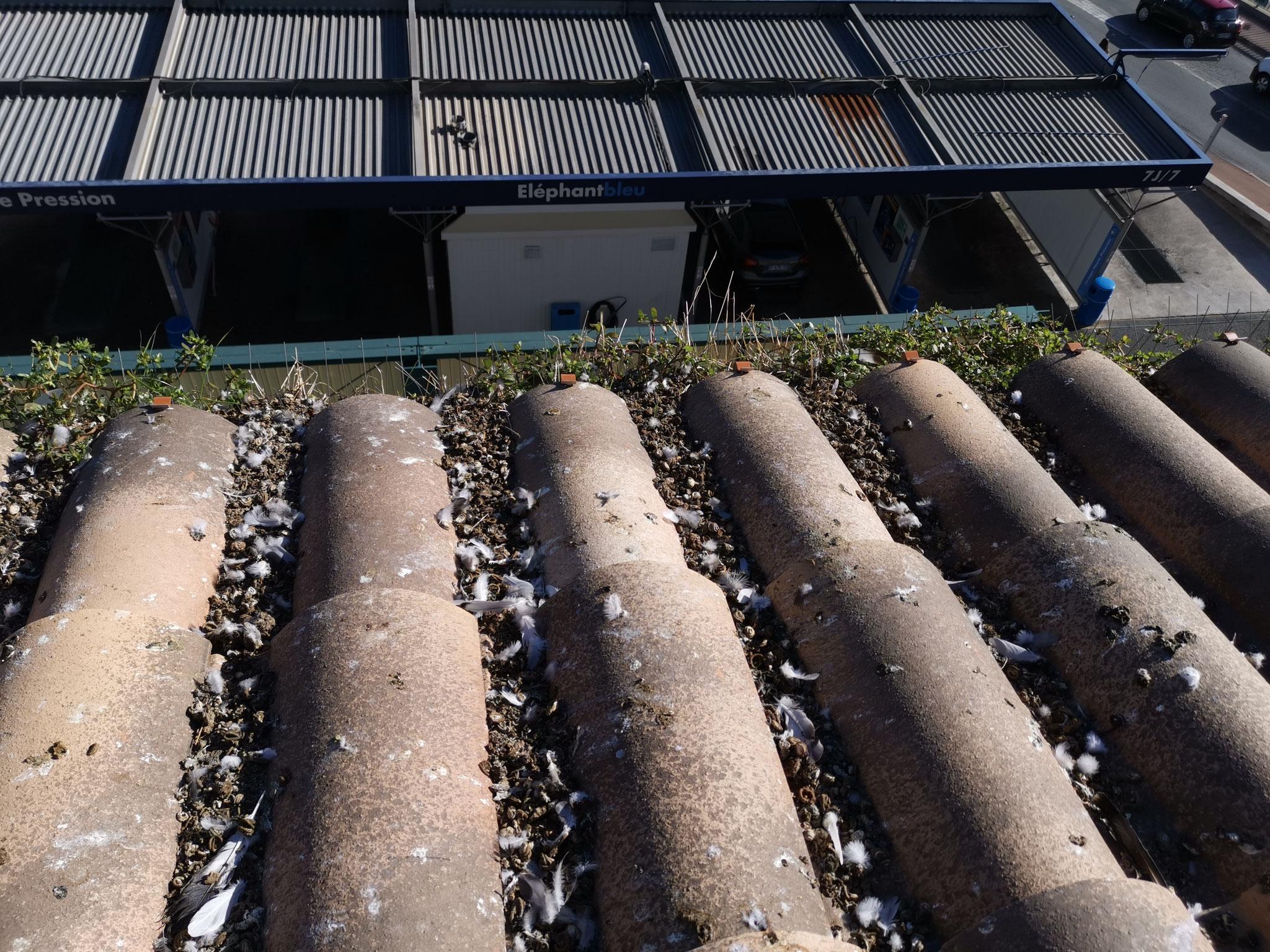 Tuiles et gouttières encombré par les déjetions de pigeons