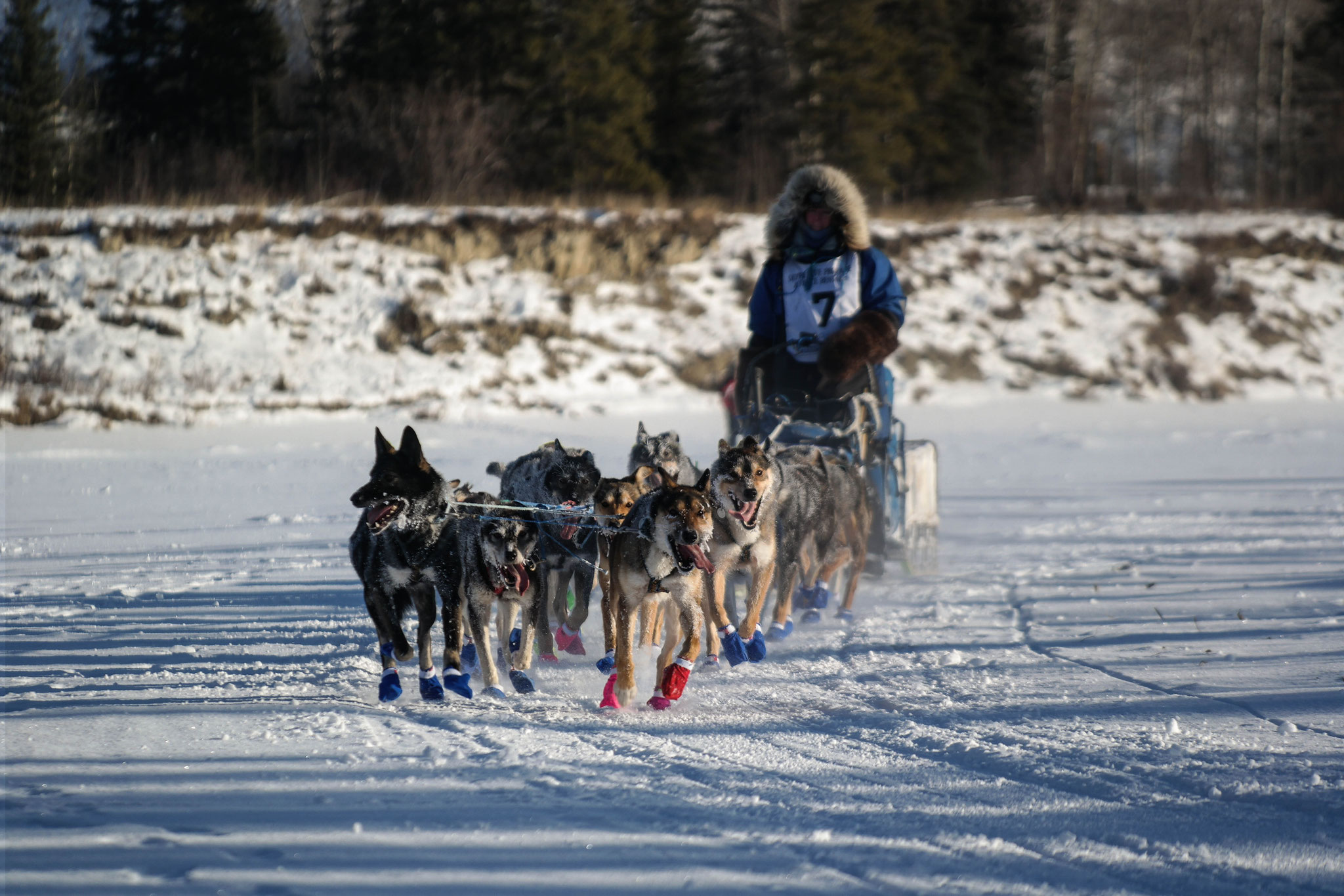 Another shot of a sled dog team passing by!