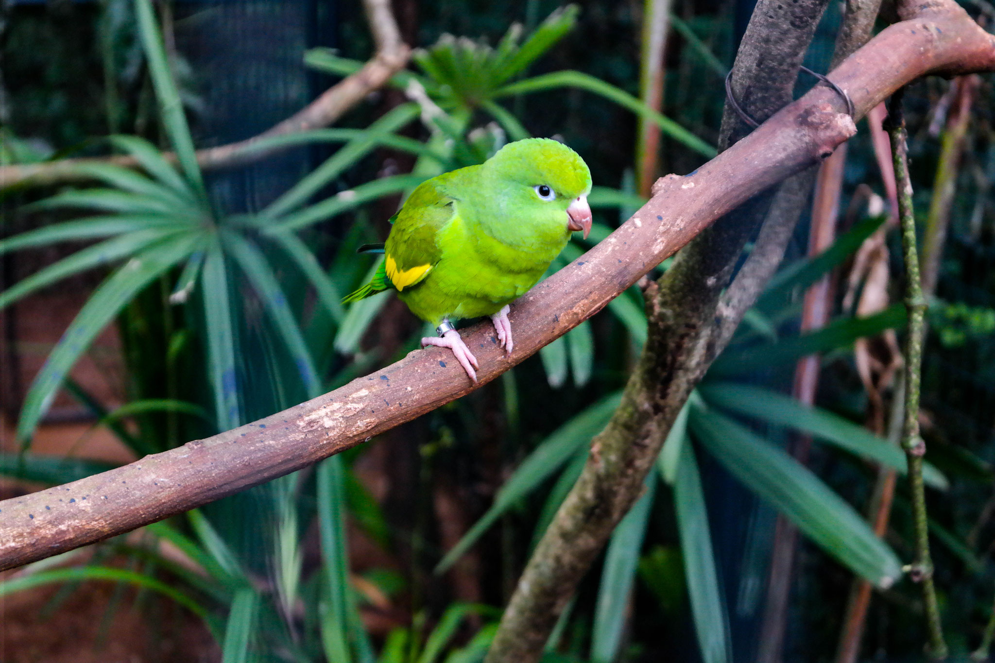 Another smaller green parrot on a branch looking around.