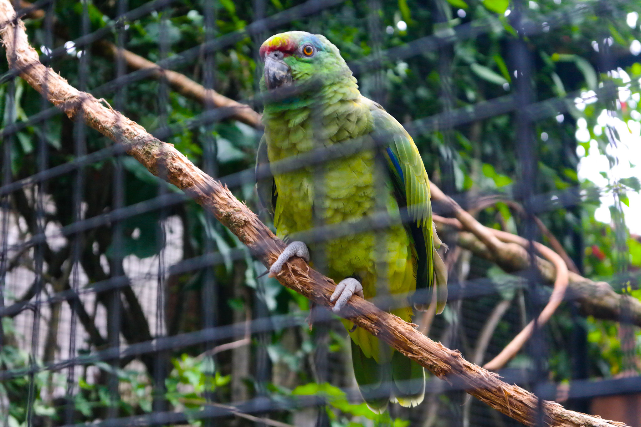 A green parrot sitting on a branch close to the grid of its enclosure.