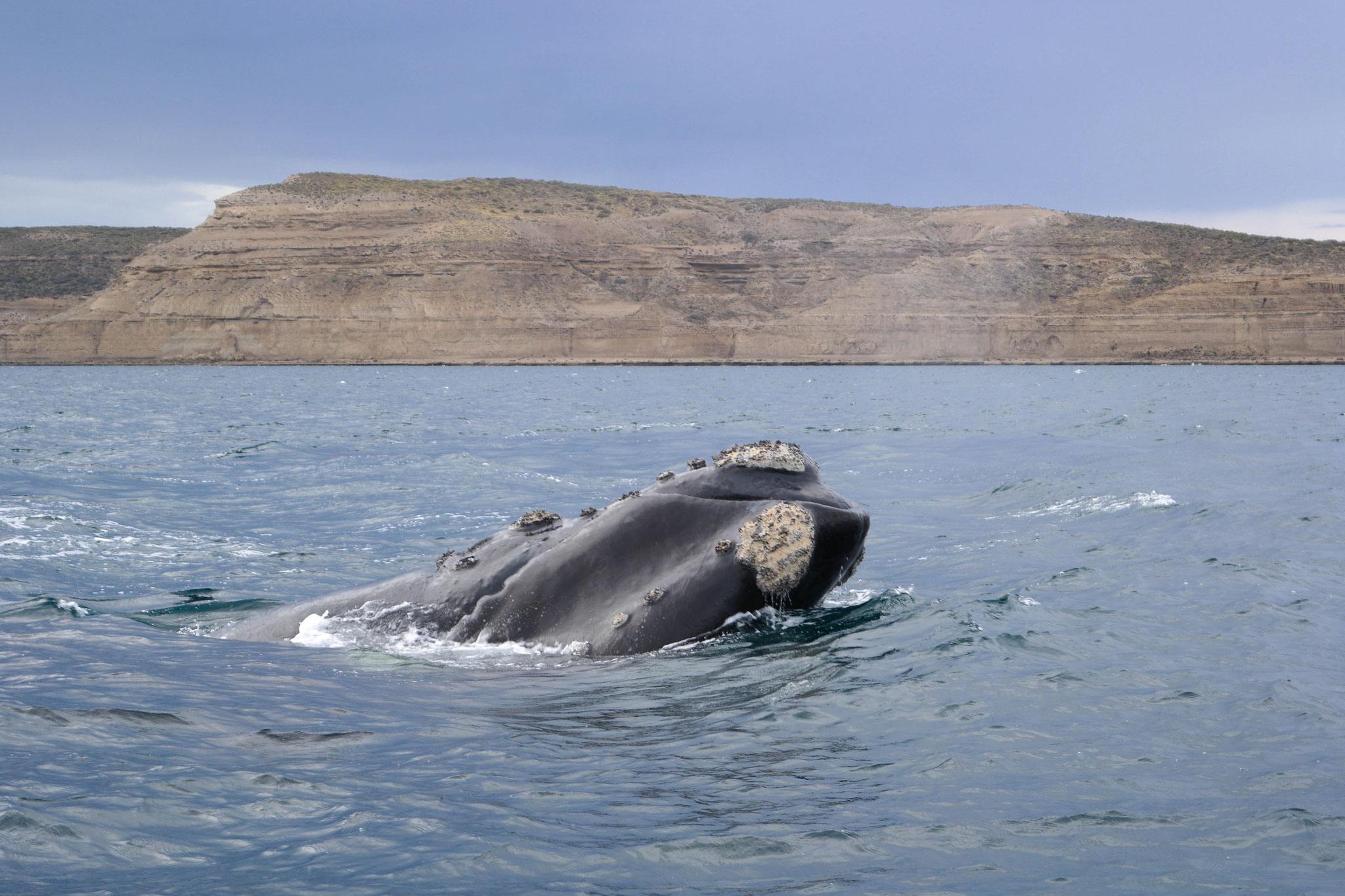 This time the southern right whale decided to not only show his fin but actually come out of the water.