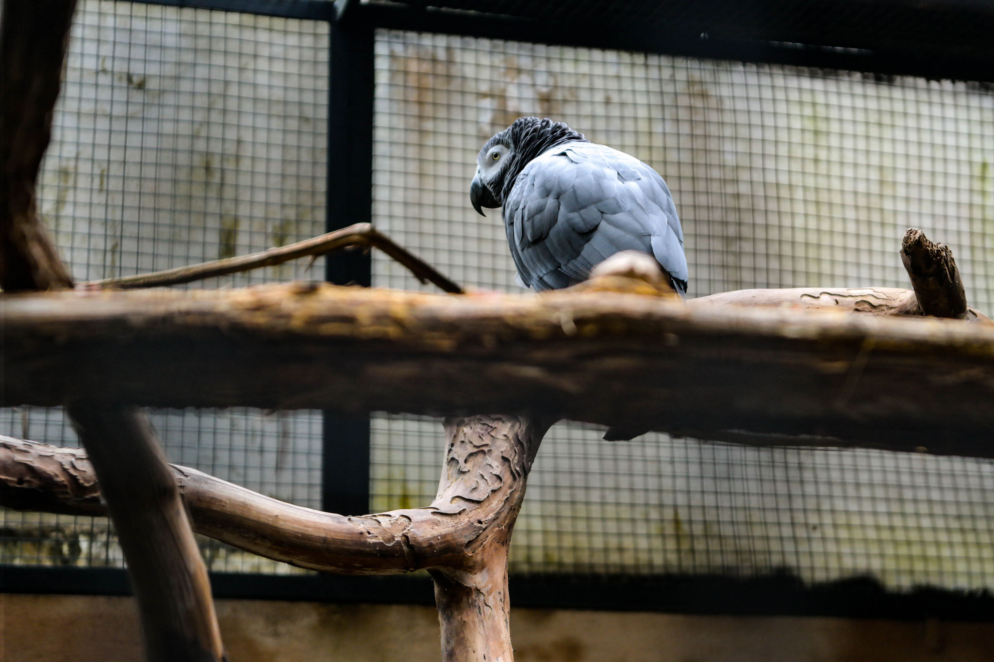 A grey parrot on a thick branch turning its back to the camera.