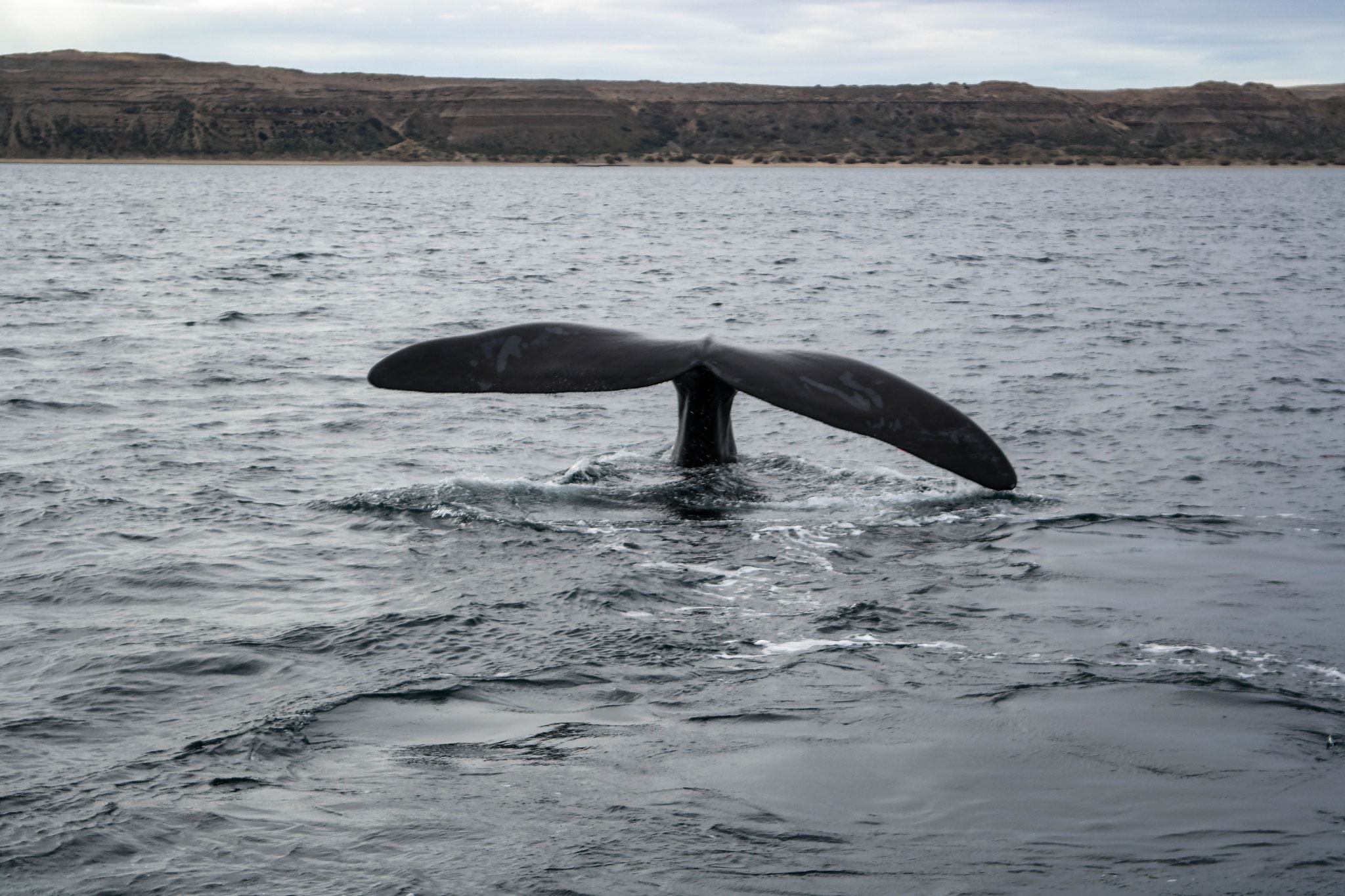 The tail fin of a southern right whale near the shore of the peninsula of Puerto Madryn.