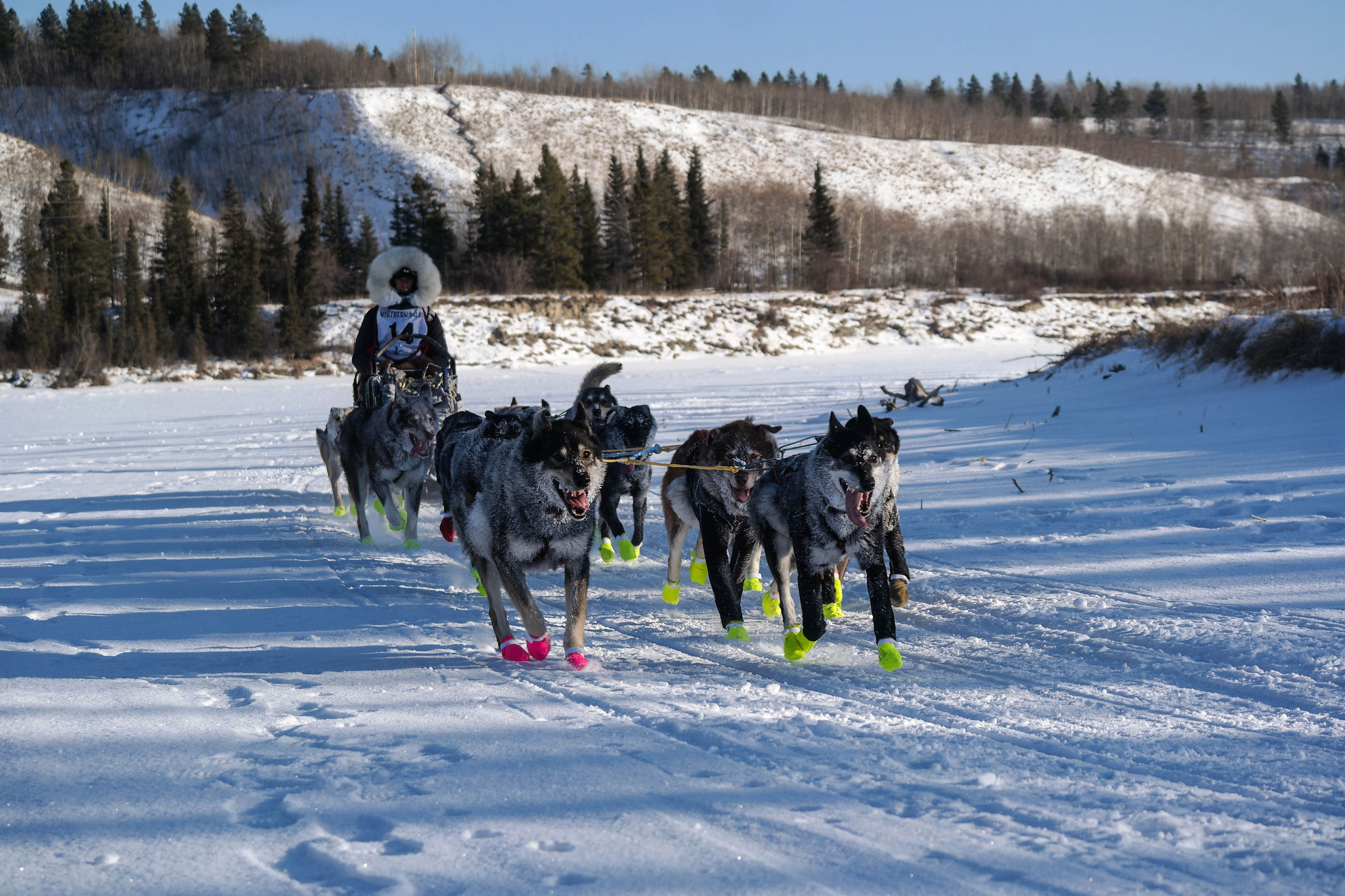 Sled dog team number 7 follows shortls!