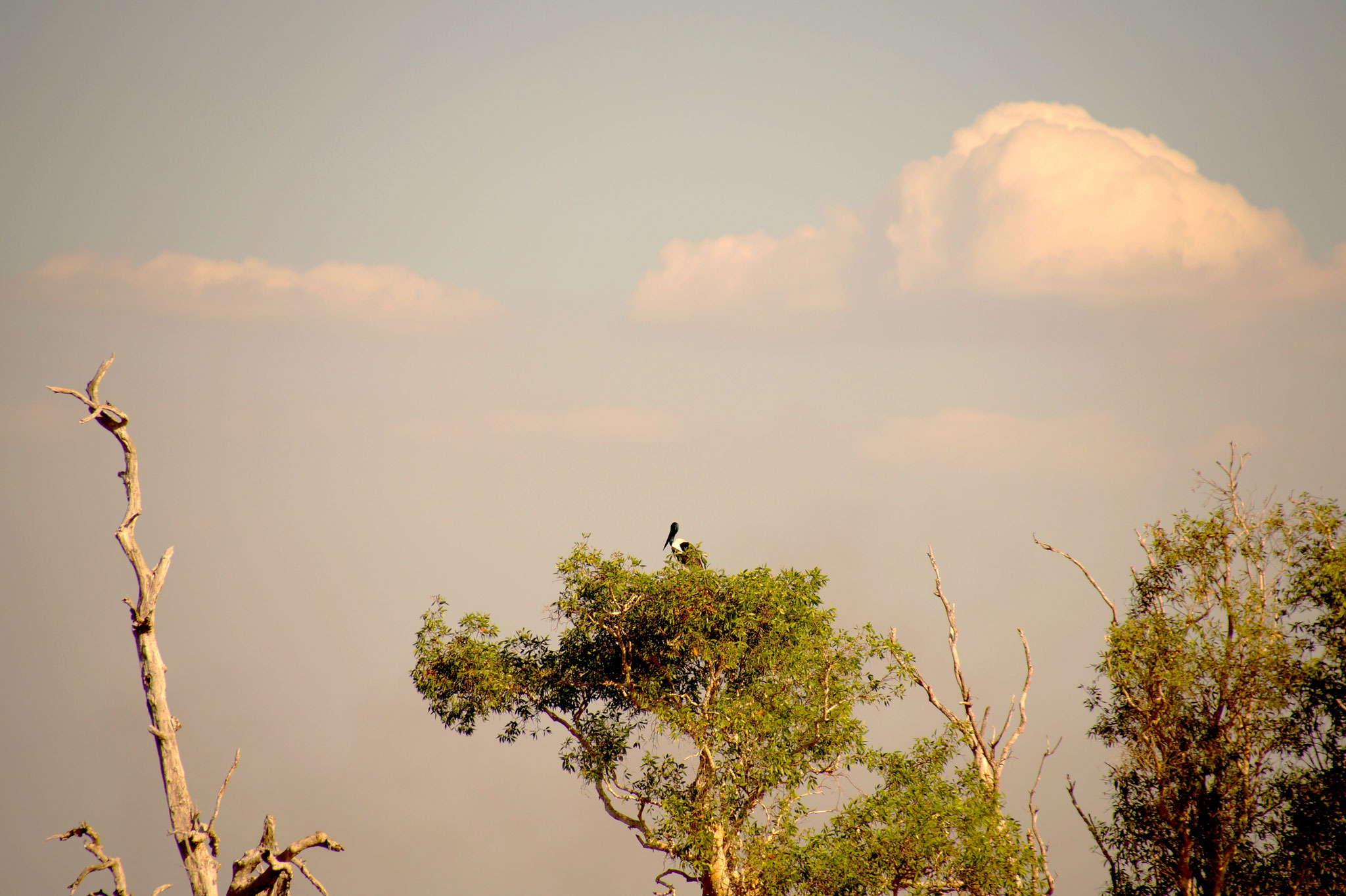 Im Gipfel thront ein scheuer Jabiru.