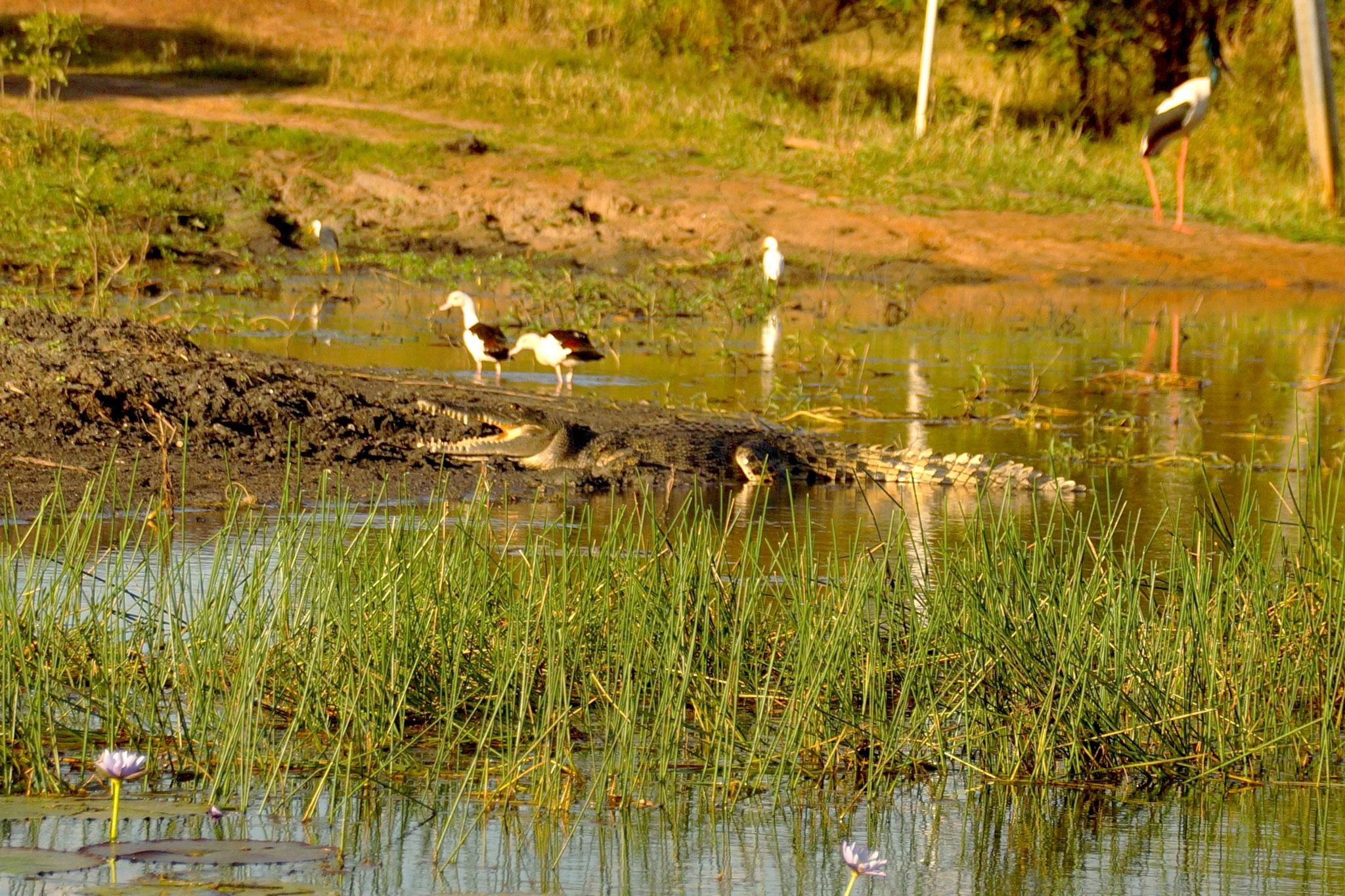 Krokodil beim Sonnenbad.