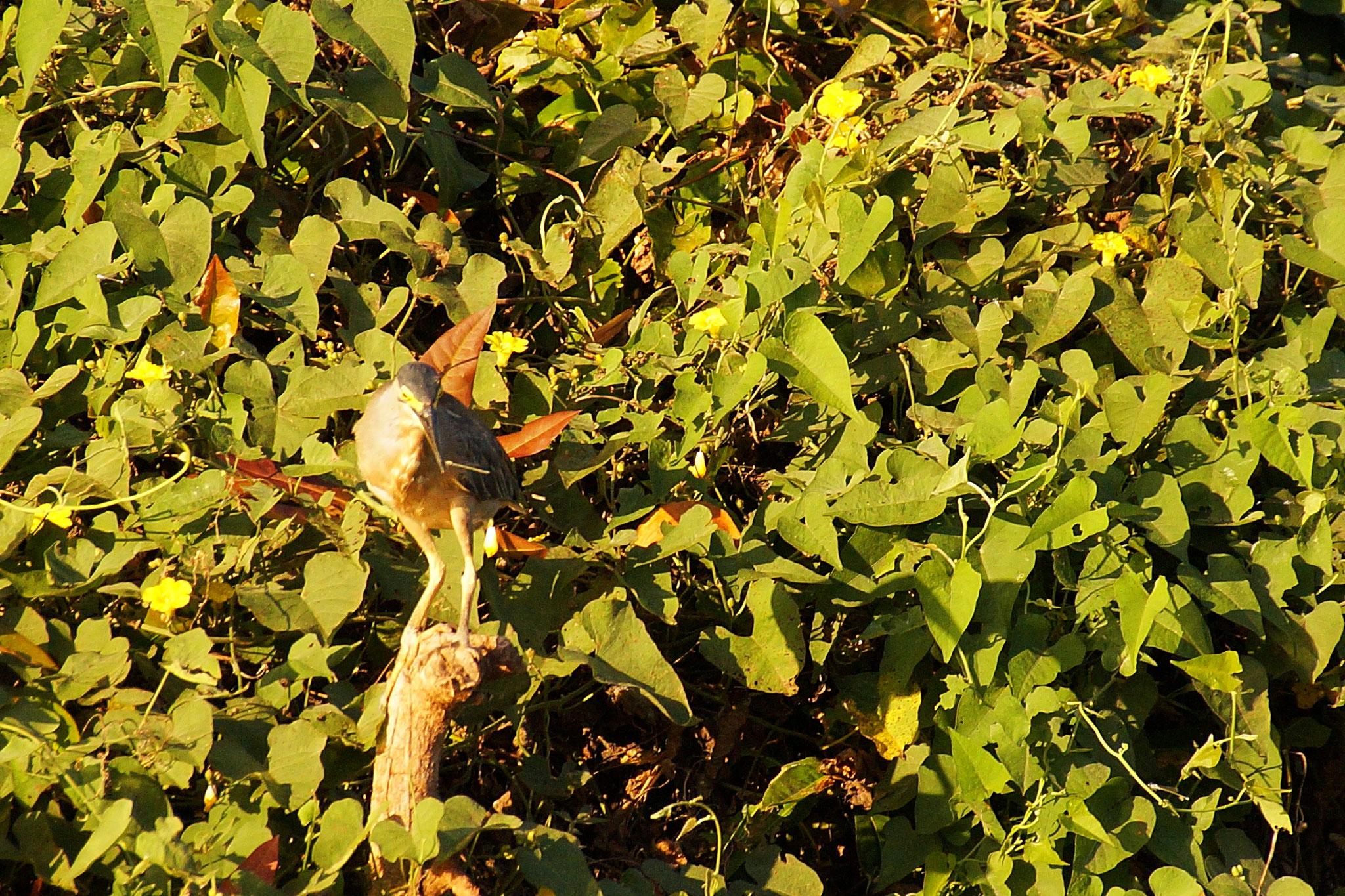 Gute Tarnung hilft kleineren Vögeln zu Überleben.