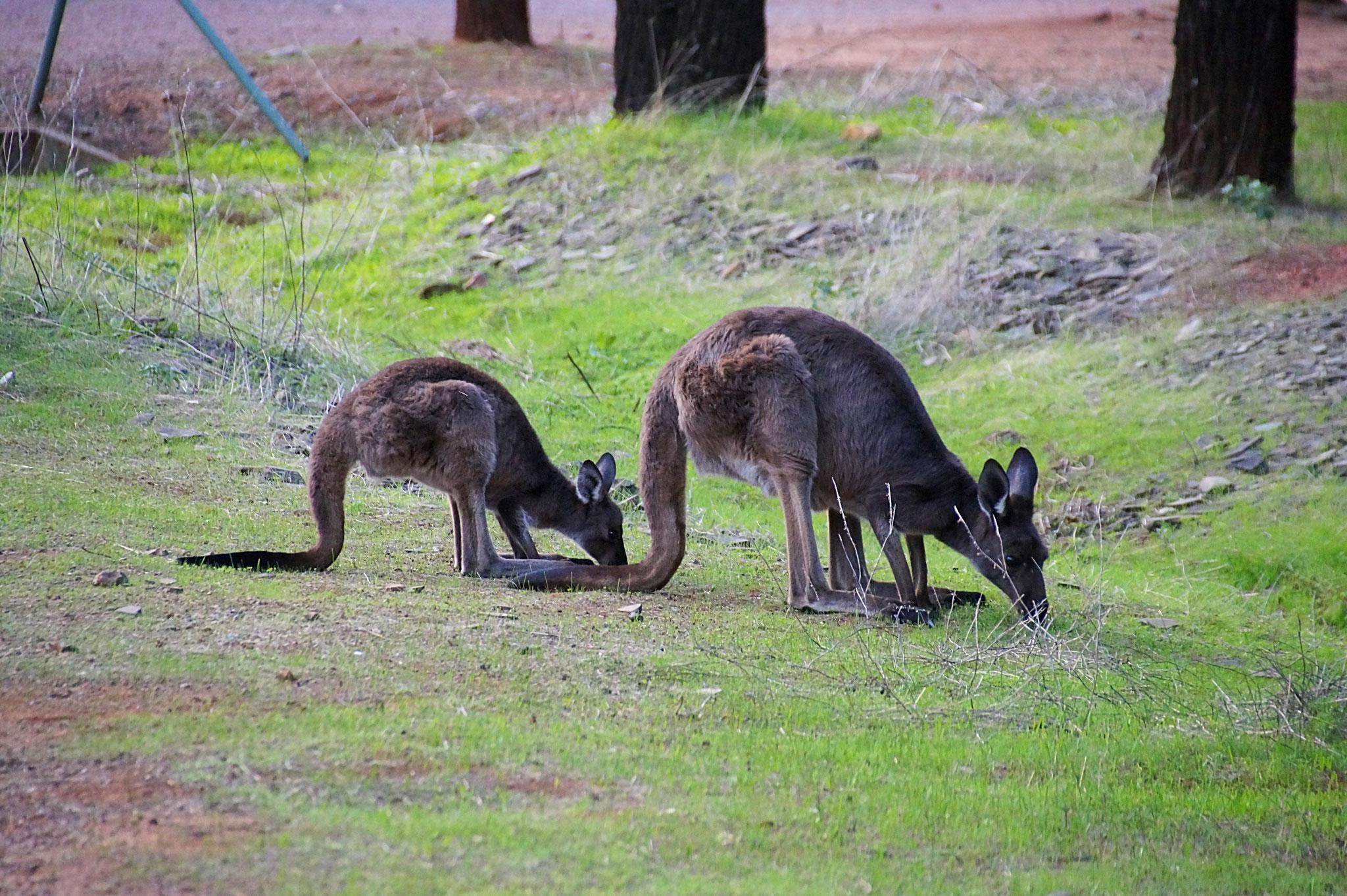 Kängurus begegnet ihr in den Flinders immer wieder.