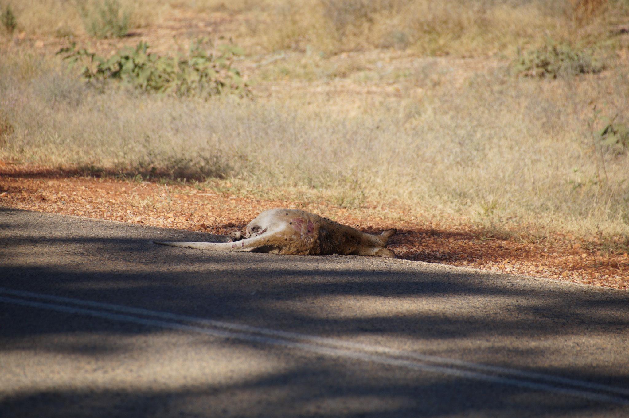 Überfahrene Kängurus sahen wir leider mehrfach. Nachtfahrten im Outback solltet ihr vermeiden.