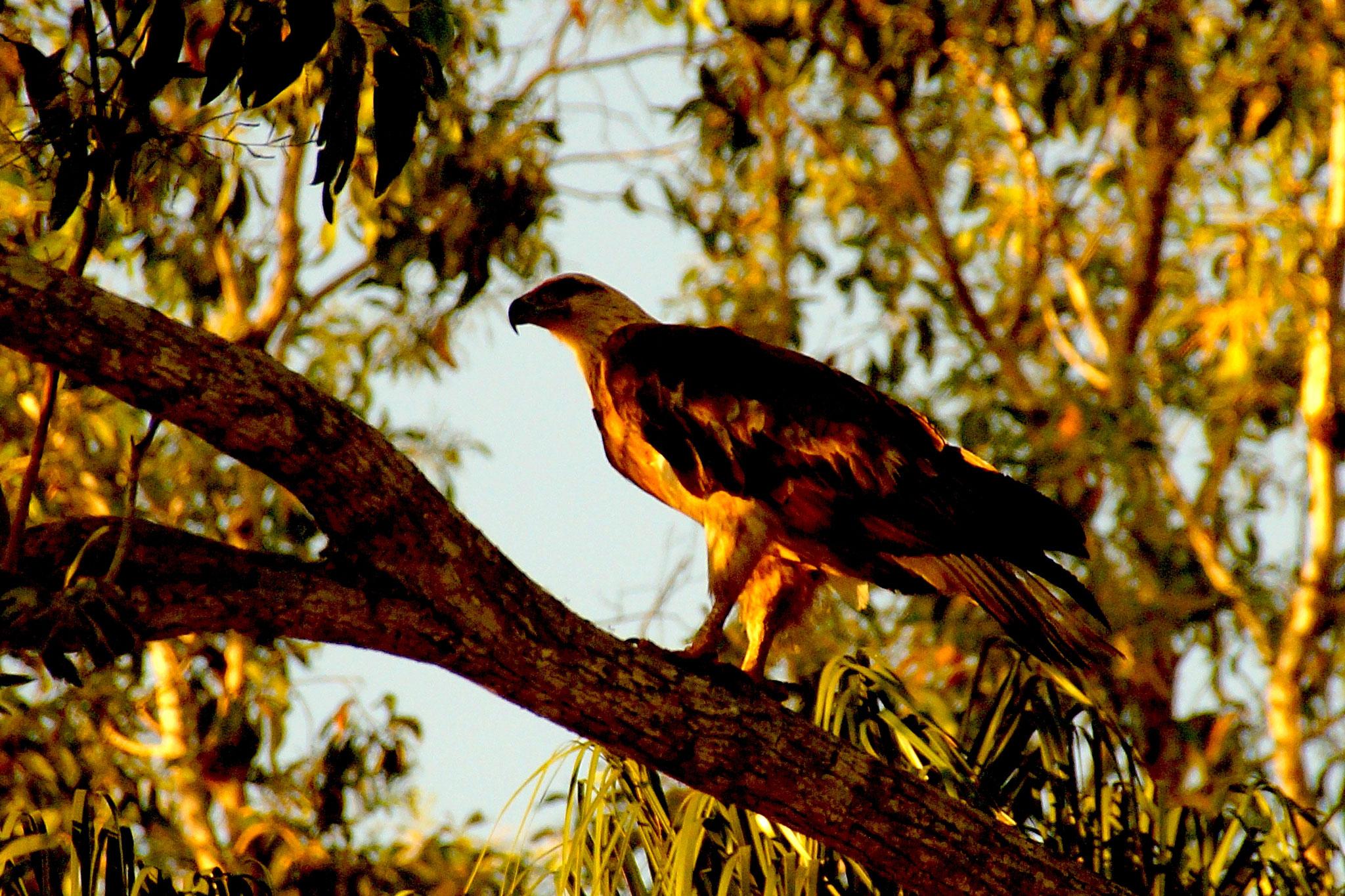Auch Seeadler fühlen sich im Kakadu Nationalpark wohl.