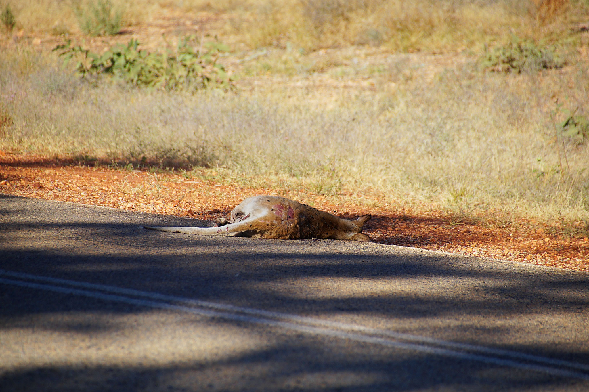 Für Kängurus sind Highways gefährlich. Wegen Wildwechsel wird von Nachtfahrten abgeraten.