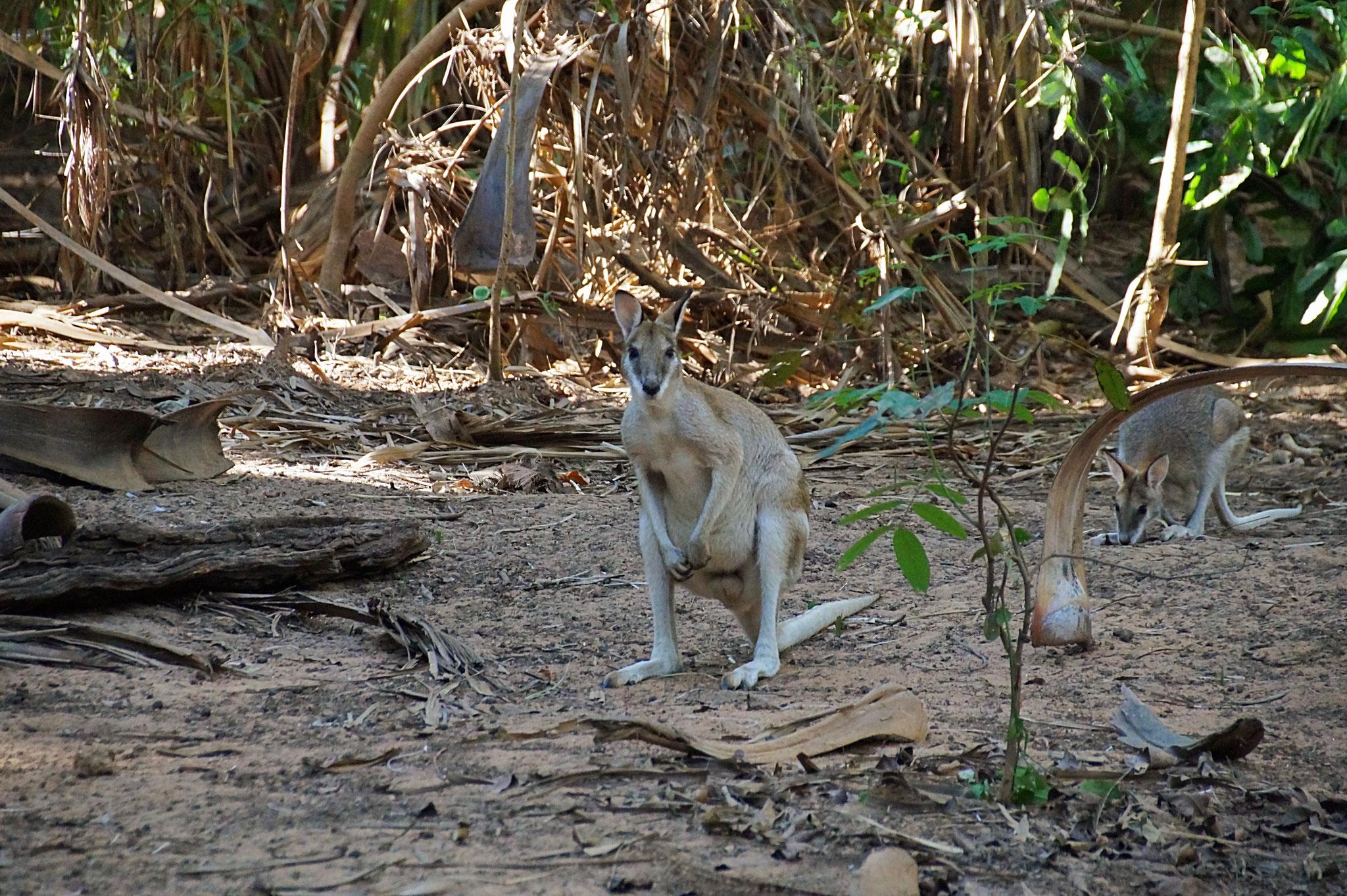 Das Känguru war so neugierig wie wir.
