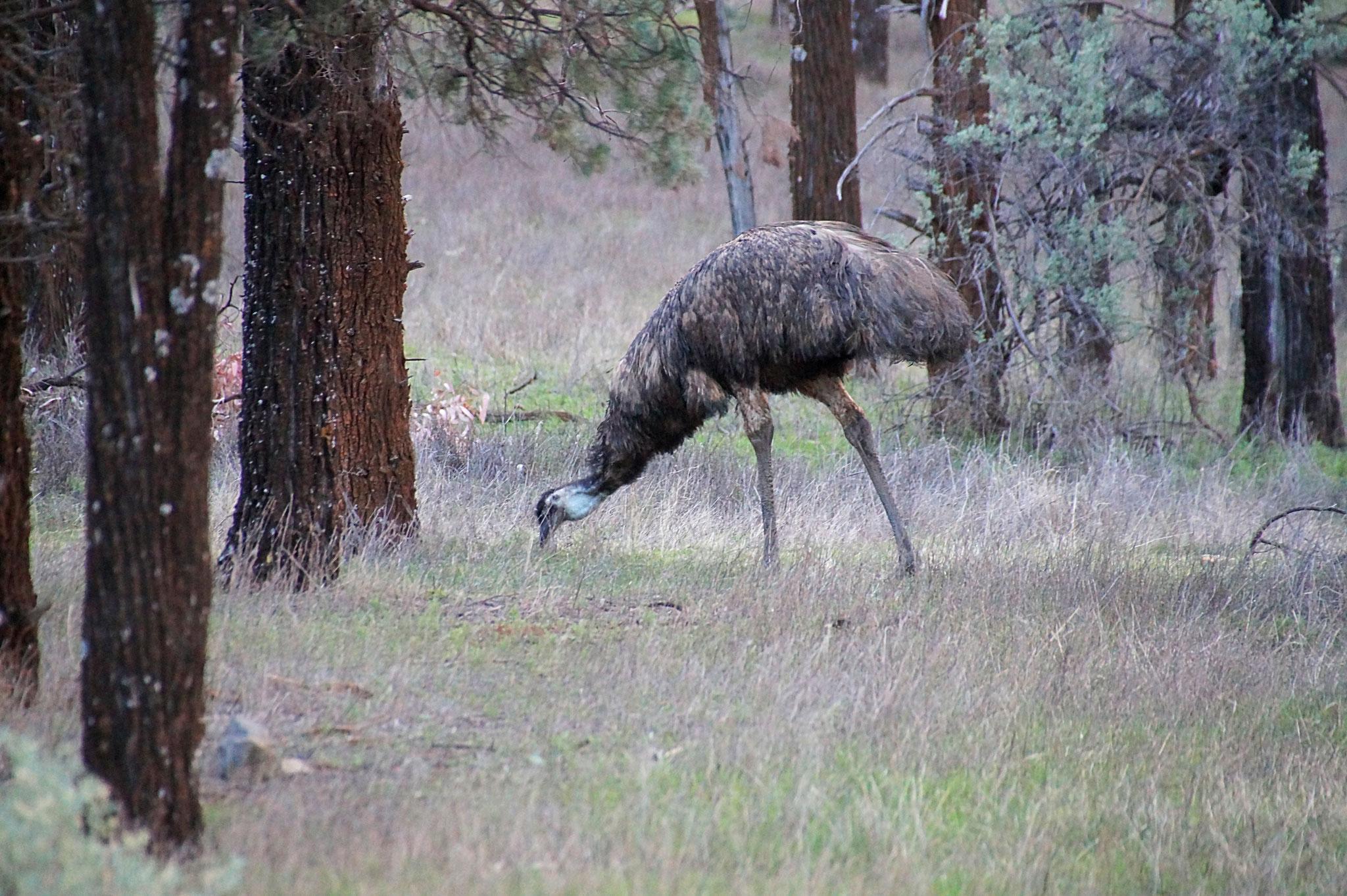 Auch Emus gibt es zu sehen.