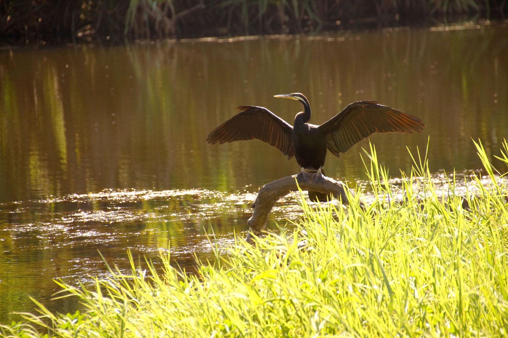 Ein Schlangenhalsvogel trocknet seine Federn.
